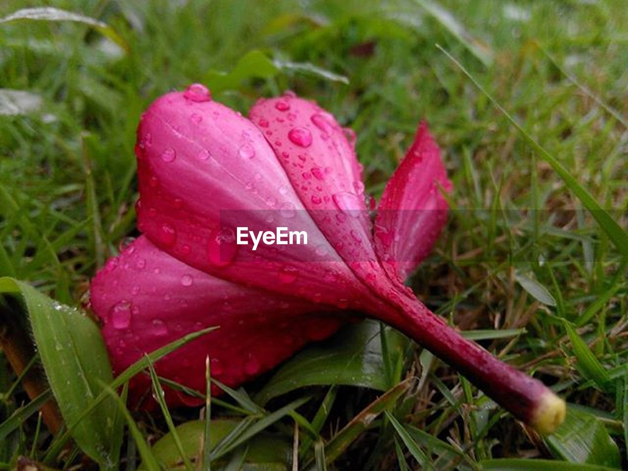 drop, wet, pink color, nature, growth, flower, grass, red, day, water, close-up, no people, outdoors, raindrop, fragility, beauty in nature, freshness, flower head