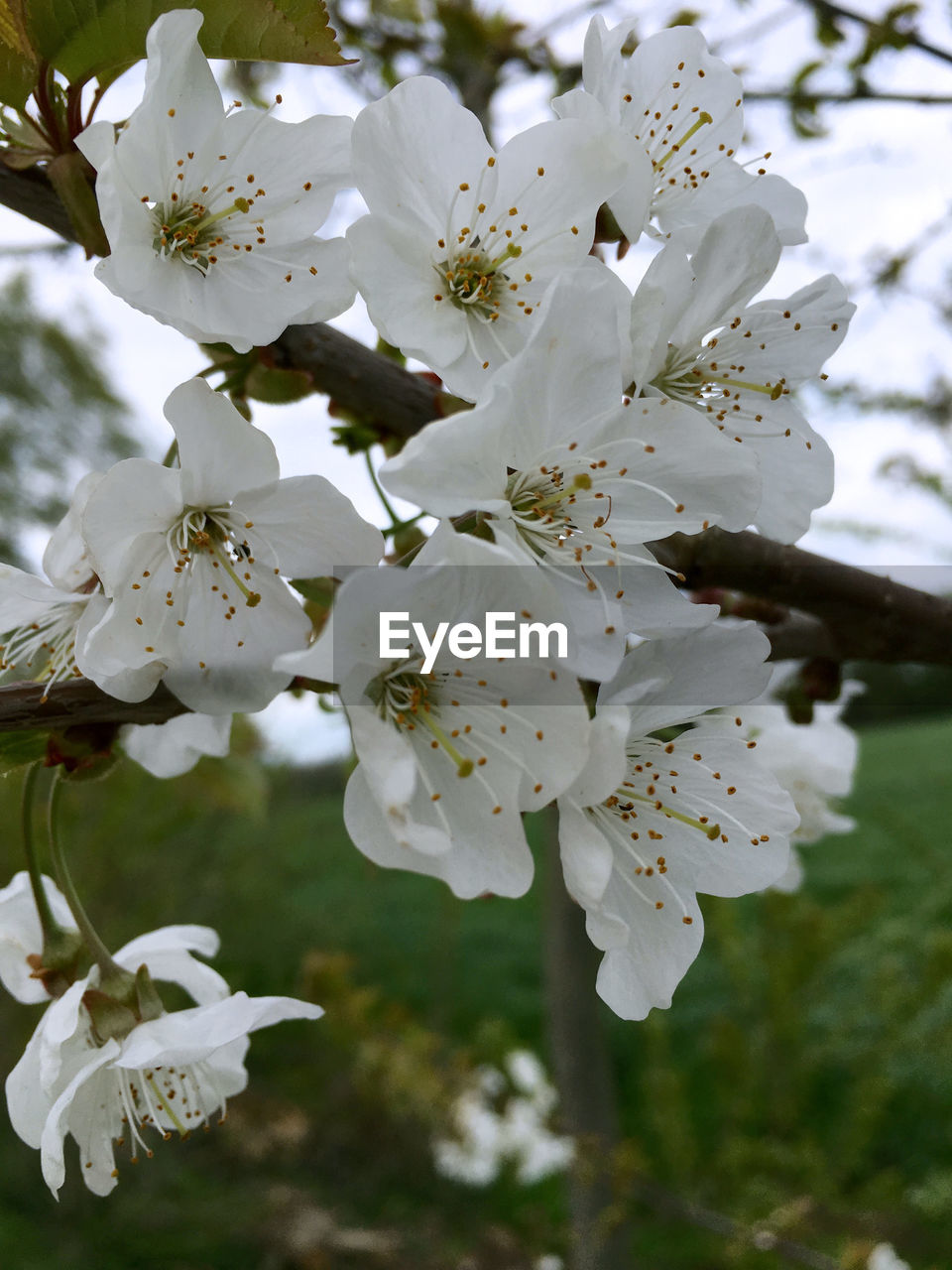 flower, white color, fragility, blossom, beauty in nature, springtime, freshness, tree, growth, nature, apple blossom, petal, apple tree, botany, branch, stamen, orchard, no people, twig, close-up, flower head, pollen, day, plum blossom, focus on foreground, outdoors, blooming