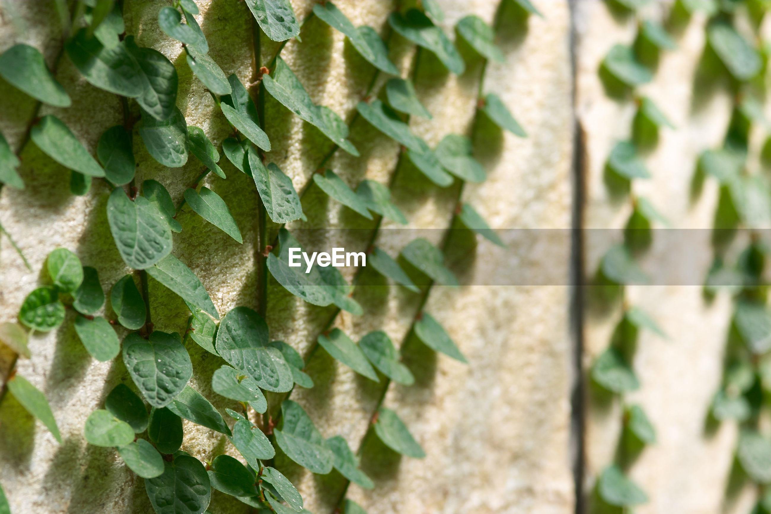 Close-up of climber plant