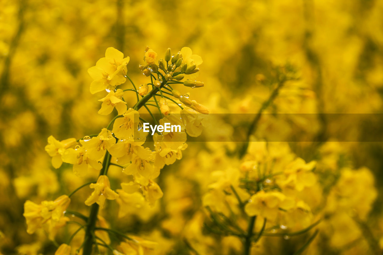 flower, flowering plant, growth, plant, yellow, beauty in nature, fragility, freshness, vulnerability, close-up, nature, oilseed rape, field, petal, day, no people, crop, focus on foreground, agriculture, land, springtime, outdoors, flower head