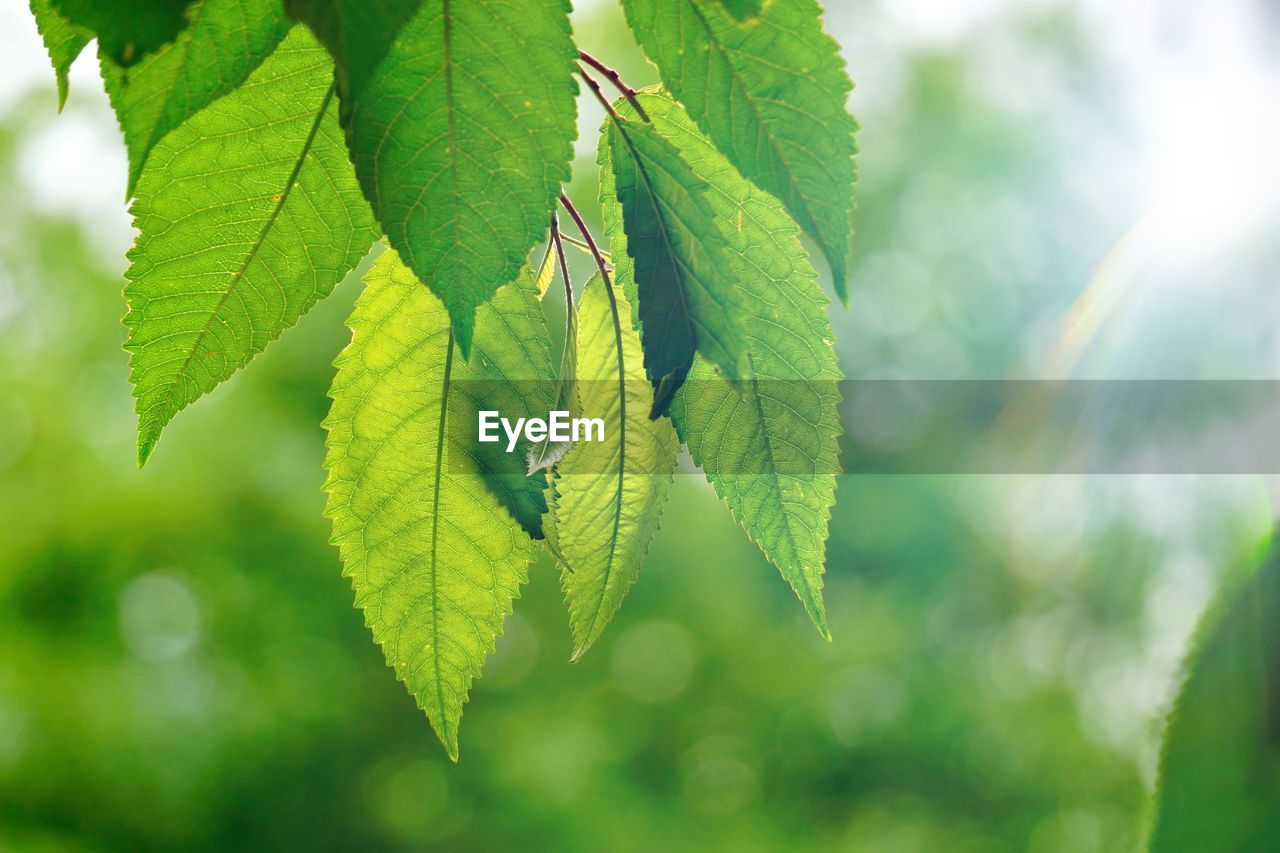 plant part, leaf, green color, plant, close-up, growth, no people, nature, focus on foreground, beauty in nature, day, leaves, outdoors, leaf vein, selective focus, tree, freshness, branch, tranquility, twig