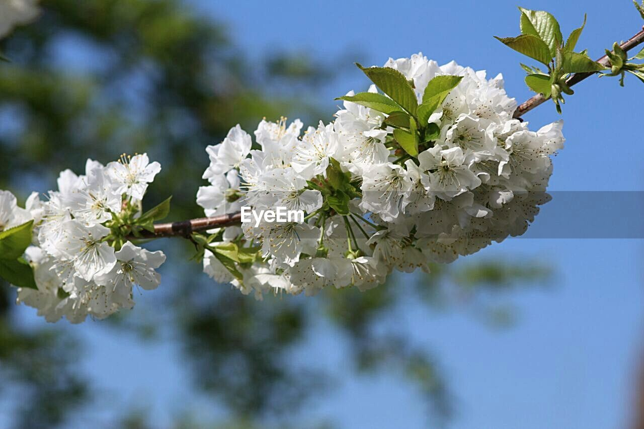 flower, blossom, apple blossom, nature, fragility, growth, tree, botany, apple tree, beauty in nature, springtime, freshness, white color, orchard, branch, petal, flower head, day, focus on foreground, no people, outdoors, close-up, clear sky, sky