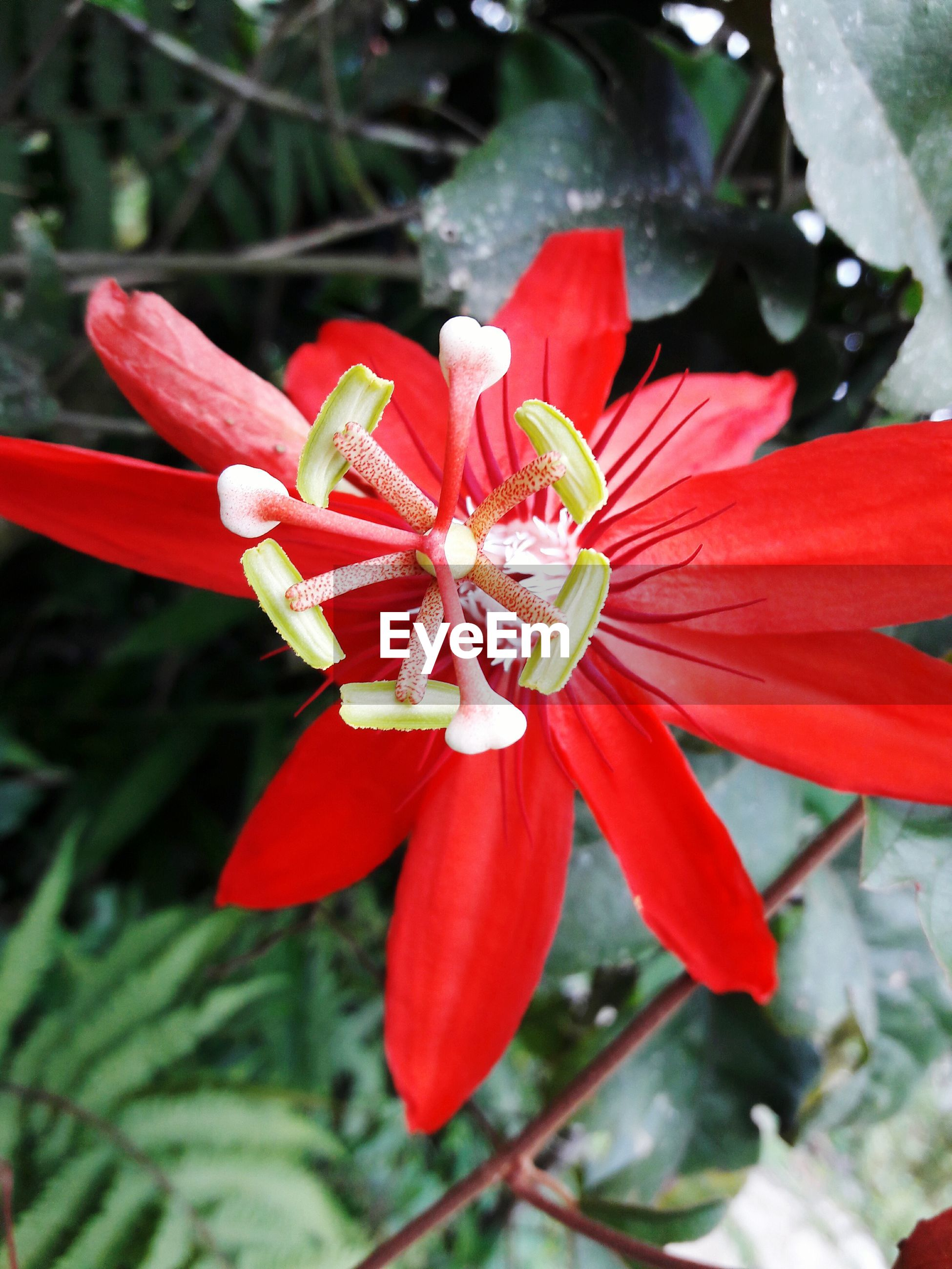 flower, red, petal, beauty in nature, fragility, flower head, nature, growth, close-up, blooming, ixora, freshness, pollen, plant, outdoors, day, no people, day lily