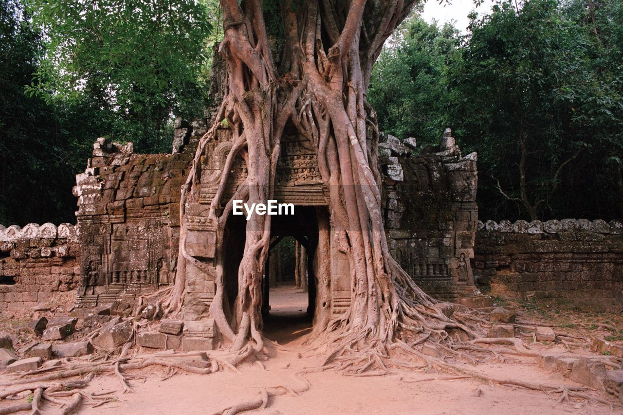 tree, old ruin, built structure, architecture, history, ancient, day, no people, outdoors, tree trunk, building exterior, nature, ancient civilization