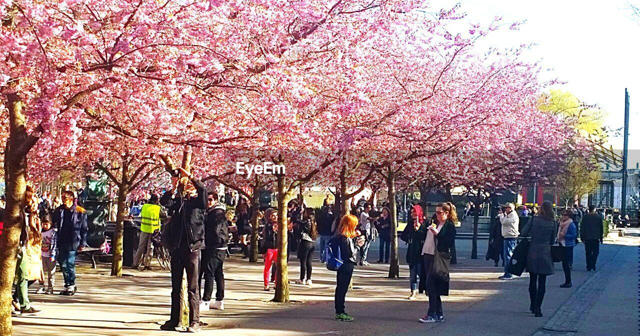 tree, cherry blossom, blossom, cherry tree, flower, springtime, beauty in nature, growth, branch, pink color, nature, fragility, large group of people, freshness, men, outdoors, day, travel destinations, road, real people, city, sky, flower head, people