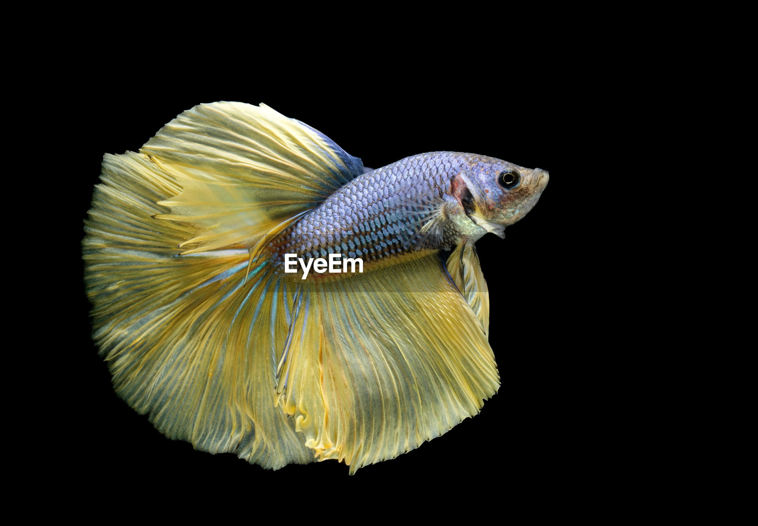 Siamese fighting fish, betta splendens,yellew fish on a black background, halfmoon betta,