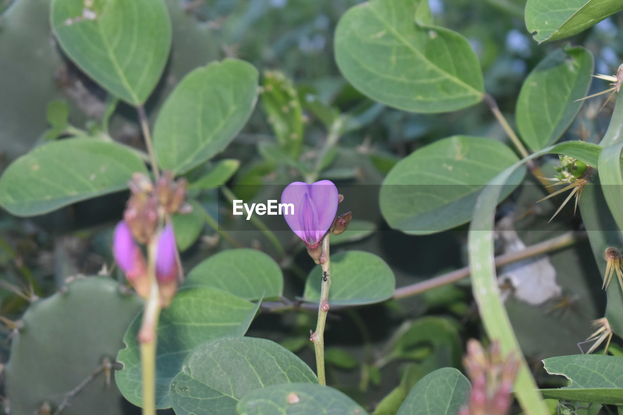 leaf, plant, growth, green color, flower, nature, fragility, beauty in nature, freshness, petal, day, outdoors, blooming, no people, flower head, close-up, periwinkle