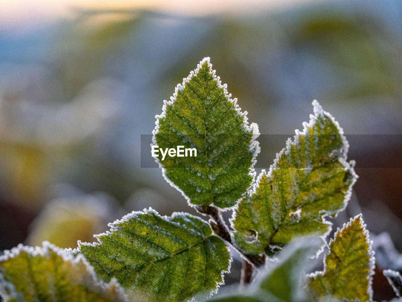Close-up of frozen leaves during winter