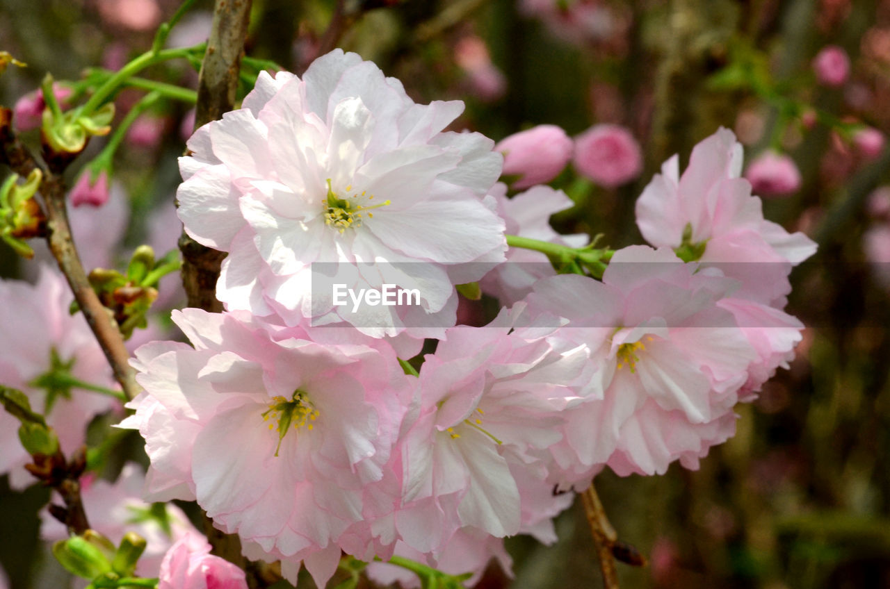 flower, flowering plant, plant, fragility, freshness, vulnerability, beauty in nature, petal, growth, close-up, inflorescence, pink color, flower head, nature, focus on foreground, pollen, day, no people, botany, outdoors, springtime, bunch of flowers, cherry blossom, spring