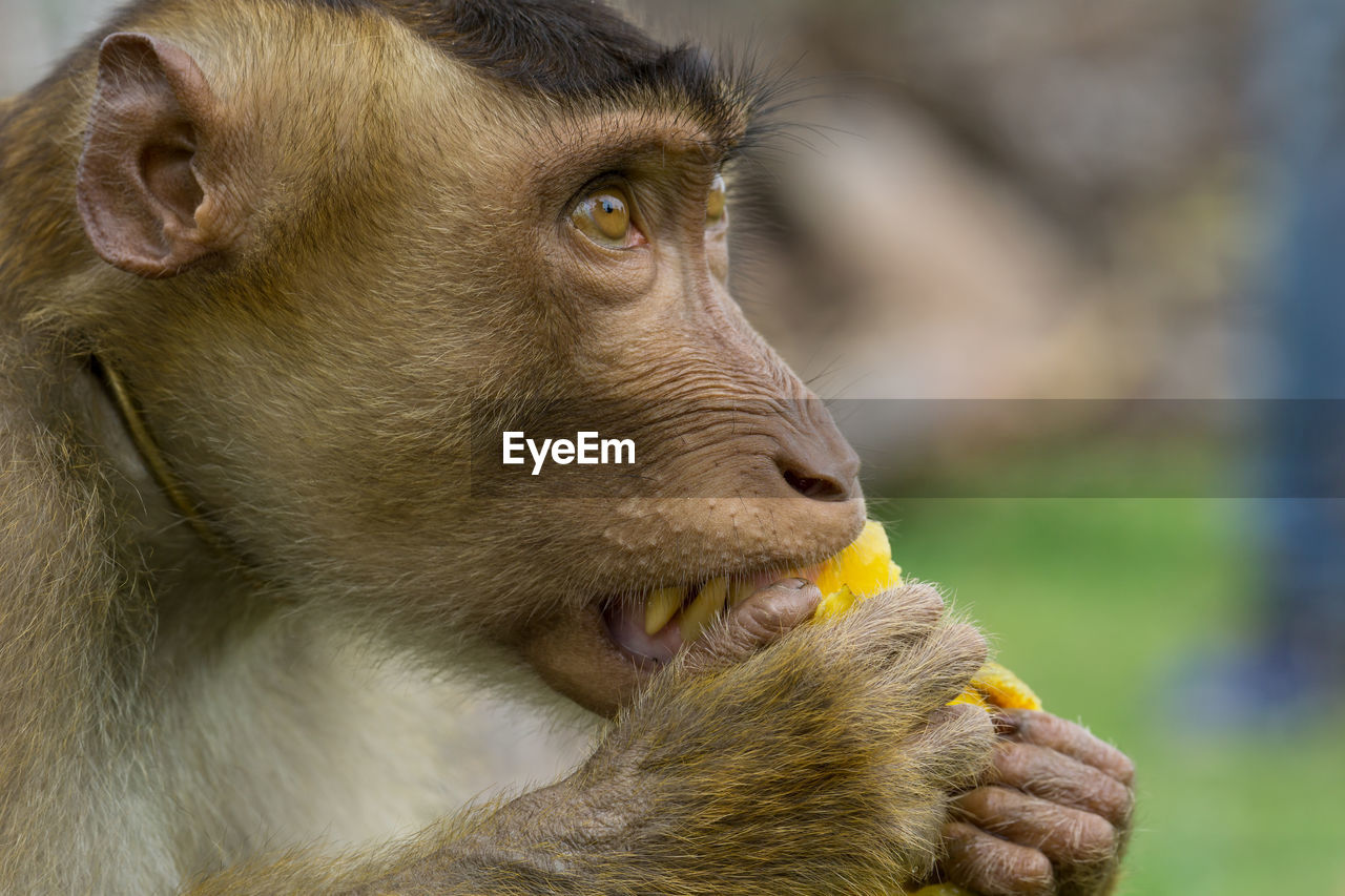 mammal, animal themes, animal, one animal, close-up, focus on foreground, vertebrate, animal wildlife, monkey, primate, animal body part, animals in the wild, looking, day, no people, eating, looking away, food, animal head, outdoors, zoo, animal mouth, mouth open, herbivorous