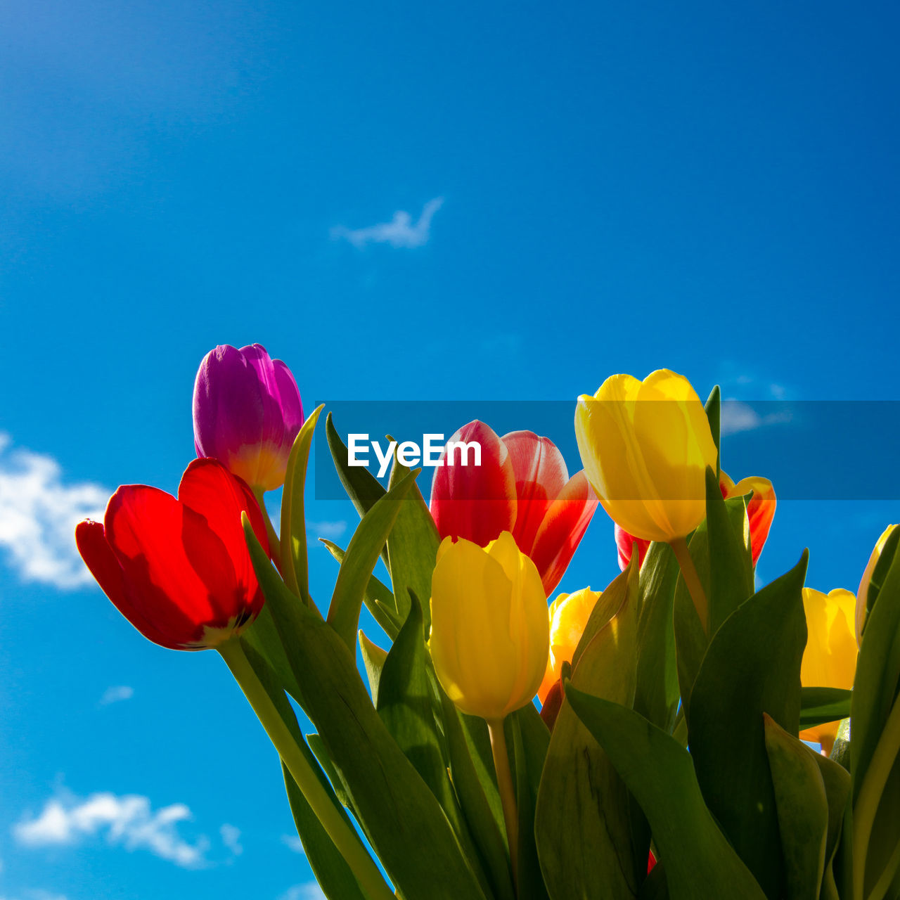 flowering plant, flower, beauty in nature, vulnerability, fragility, plant, petal, freshness, sky, nature, growth, flower head, tulip, close-up, inflorescence, yellow, low angle view, no people, blue, day, outdoors, springtime, sepal