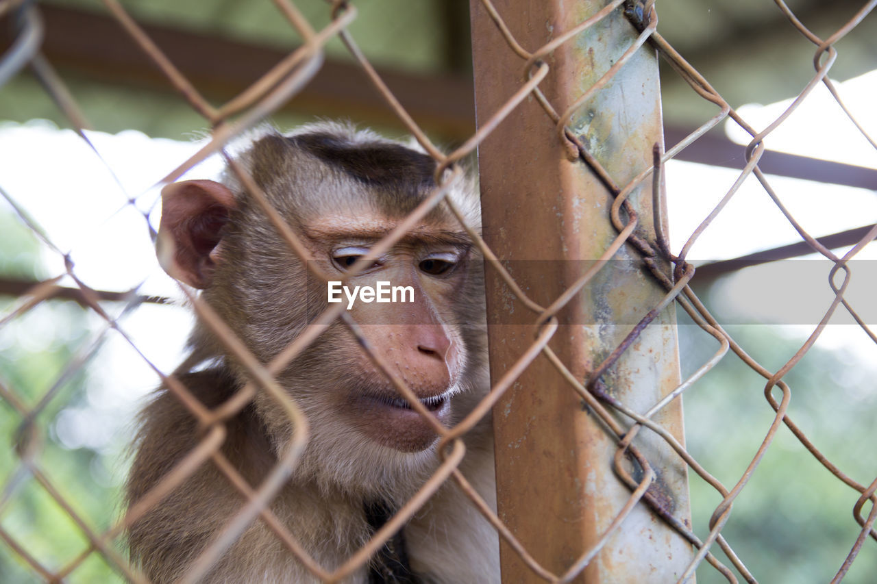 animal themes, mammal, animal, one animal, fence, animal wildlife, focus on foreground, vertebrate, boundary, animals in captivity, animals in the wild, barrier, chainlink fence, day, zoo, monkey, looking, primate, no people, metal, outdoors, animal head