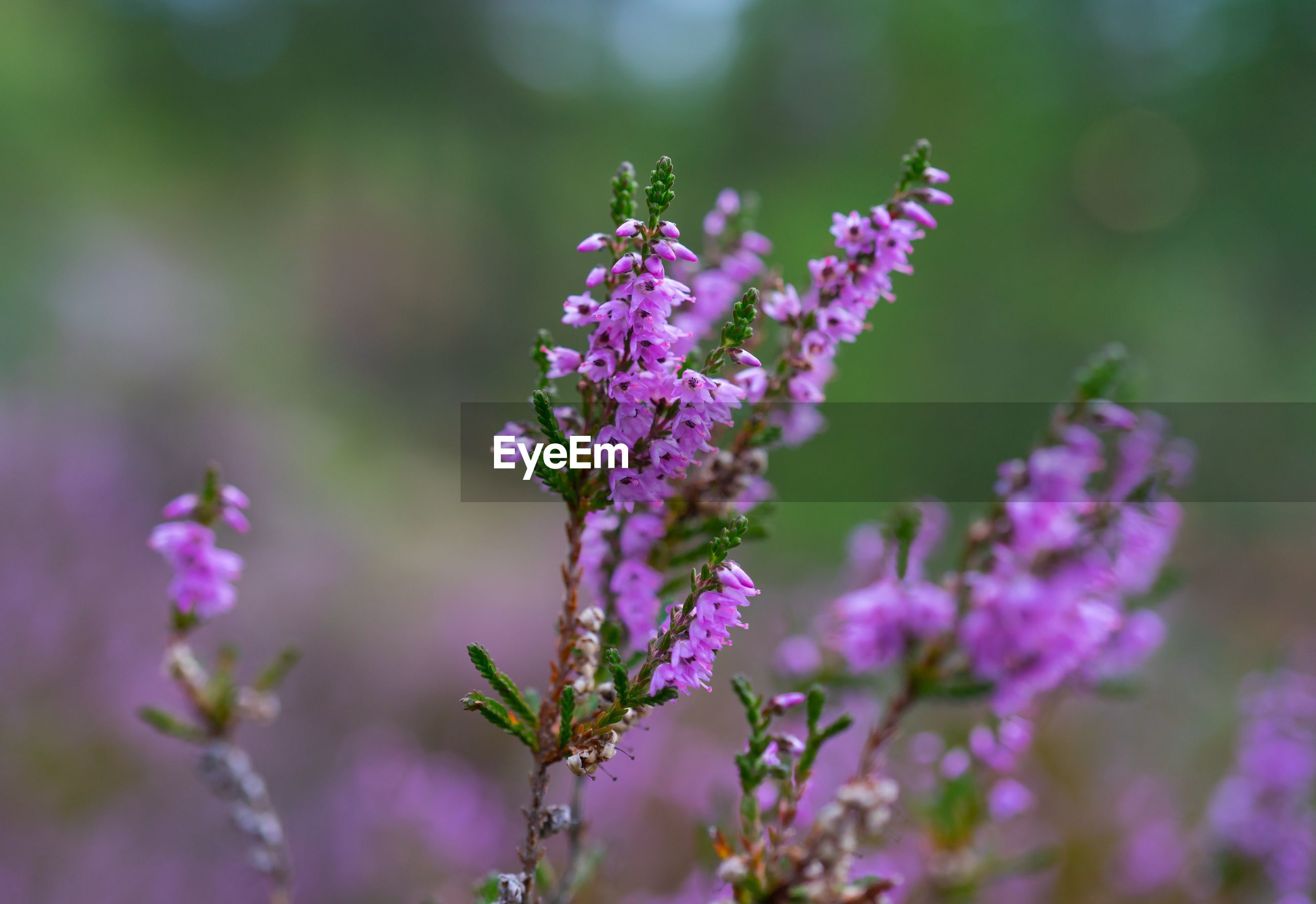 purple, nature, flower, beauty in nature, lavender, focus on foreground, fragility, growth, day, no people, plant, close-up, outdoors, freshness, blooming, flower head