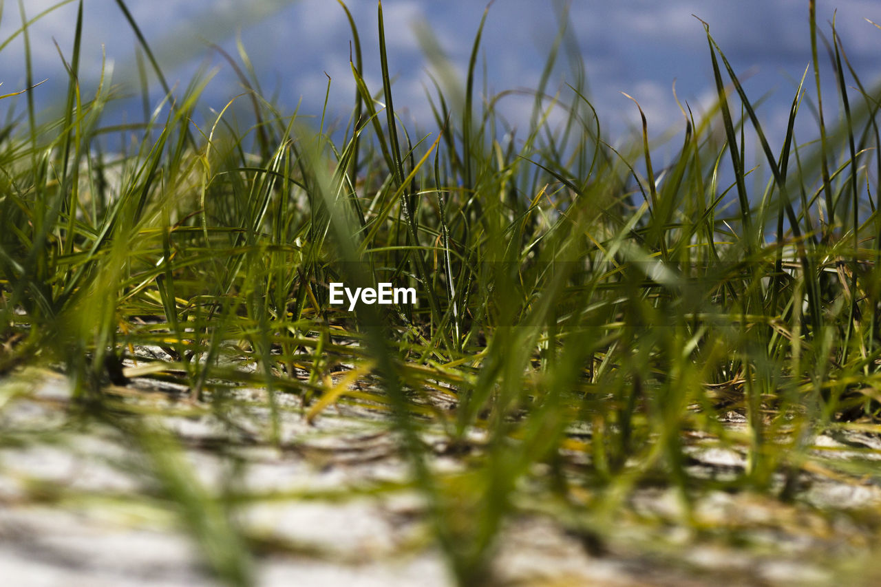 plant, selective focus, growth, green color, grass, nature, field, day, land, beauty in nature, no people, close-up, tranquility, surface level, outdoors, sky, water, freshness, agriculture, blade of grass