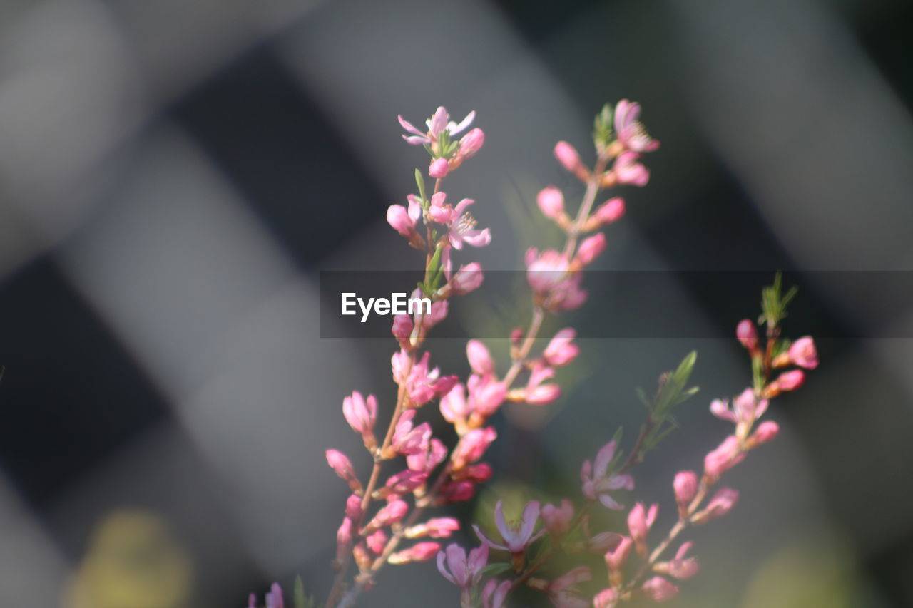 flower, flowering plant, plant, growth, close-up, beauty in nature, nature, selective focus, focus on foreground, fragility, freshness, vulnerability, pink color, day, outdoors, no people, flower head, petal