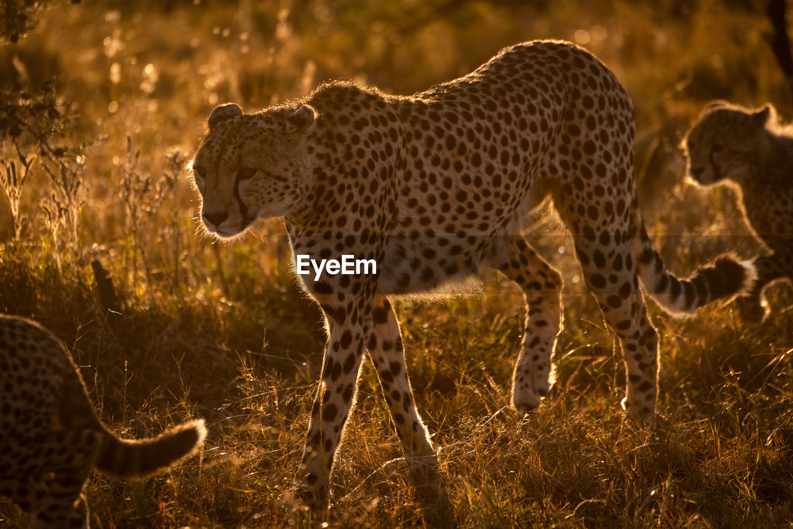 Cheetahs walking on grassy field during sunset