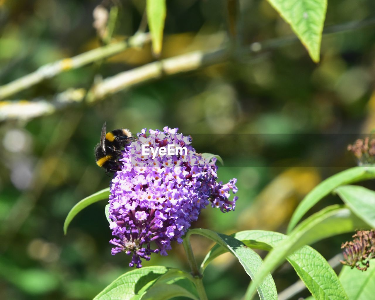 flowering plant, flower, insect, invertebrate, plant, animal themes, animal, beauty in nature, animal wildlife, animals in the wild, one animal, growth, bee, freshness, fragility, vulnerability, flower head, pollination, petal, close-up, purple, no people, bumblebee