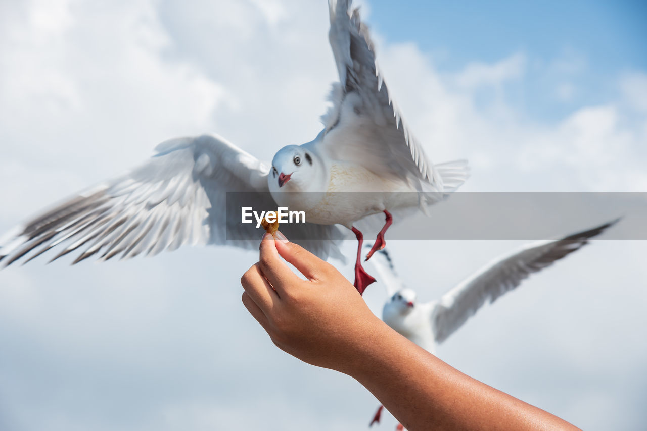 bird, vertebrate, animal wildlife, spread wings, animals in the wild, human body part, flying, human hand, one person, hand, one animal, seagull, sky, real people, focus on foreground, feeding, holding, body part, outdoors, finger