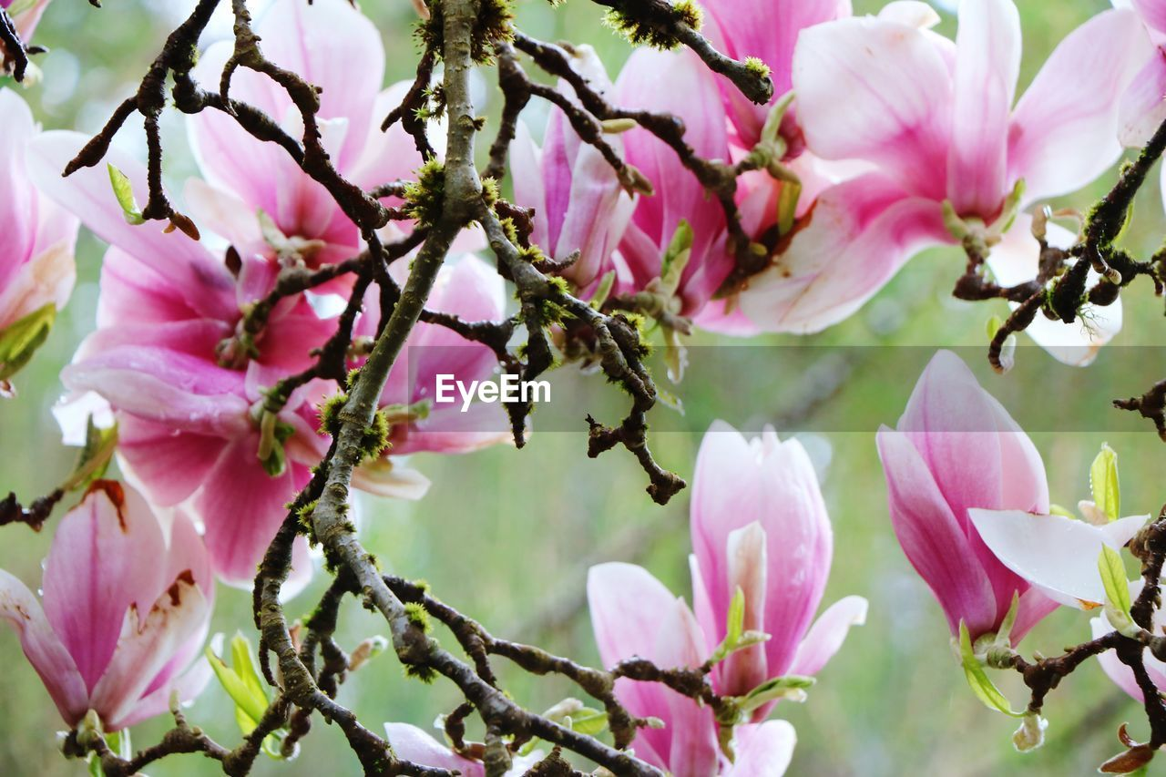 flower, flowering plant, plant, pink color, fragility, vulnerability, growth, beauty in nature, freshness, petal, close-up, tree, branch, no people, inflorescence, blossom, nature, flower head, springtime, day, outdoors, pollen, spring, cherry blossom, cherry tree, purple