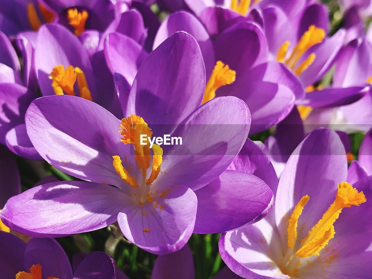 flower, flowering plant, vulnerability, fragility, plant, beauty in nature, freshness, petal, close-up, growth, inflorescence, flower head, purple, no people, nature, crocus, pollen, day, focus on foreground, iris