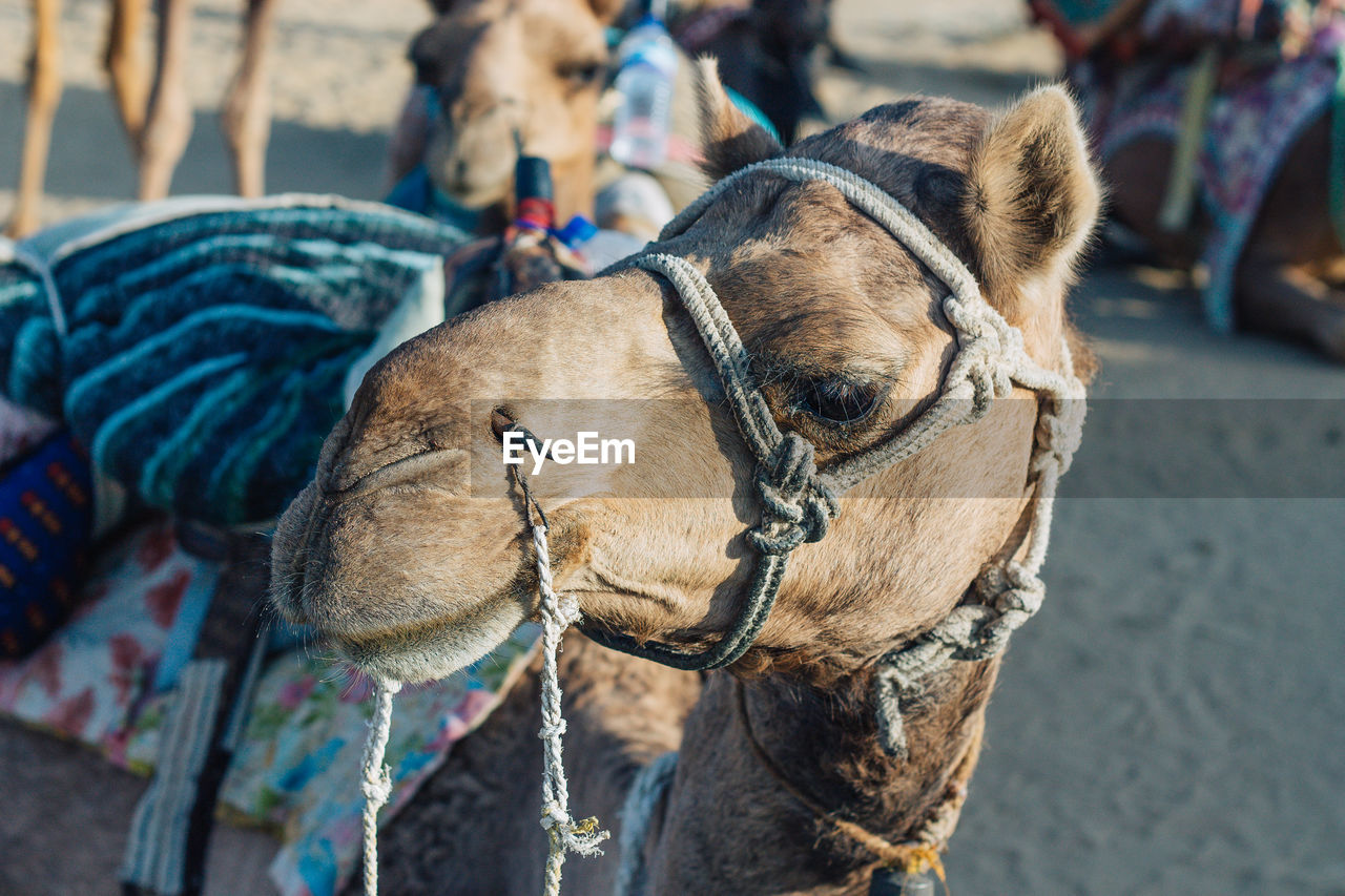 Close-Up Of Camel Sitting On Field