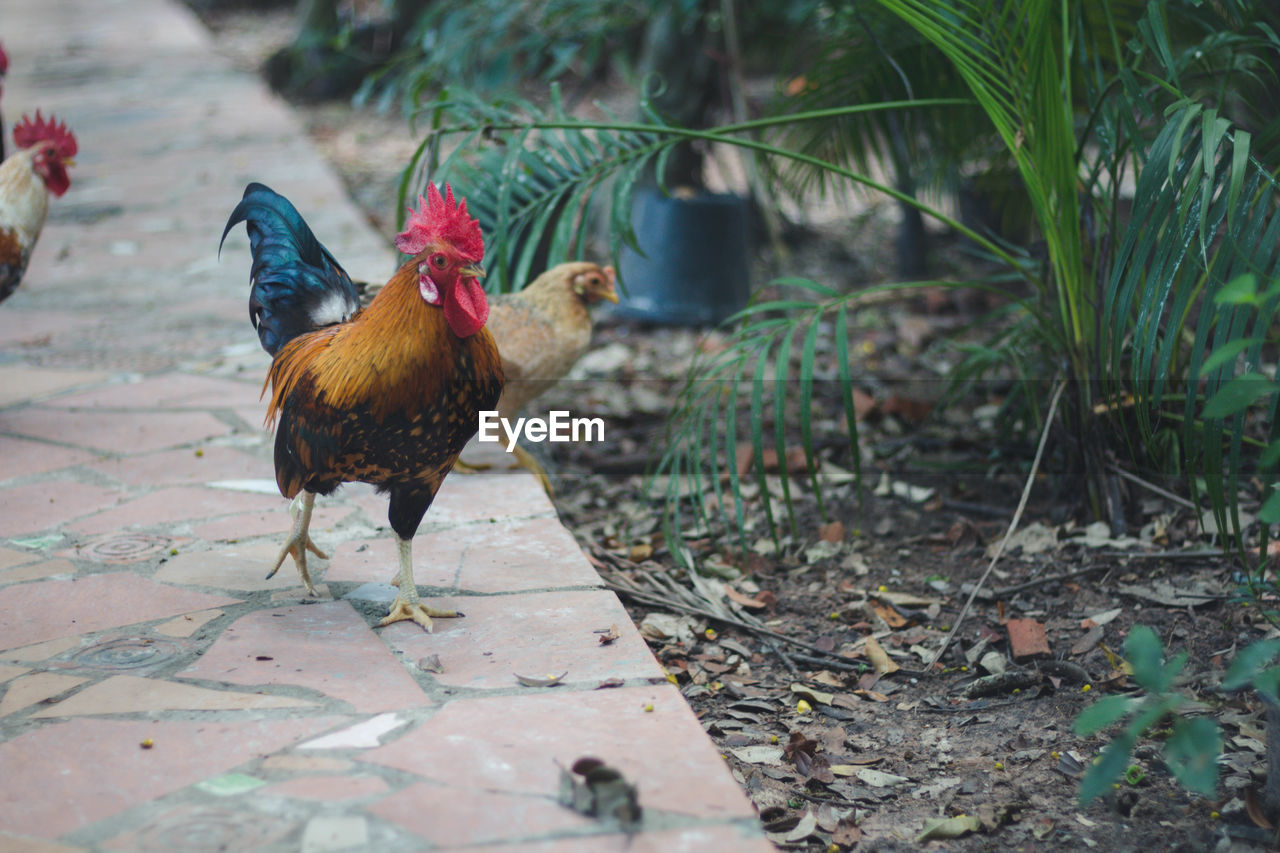 animal themes, animal, bird, vertebrate, chicken, chicken - bird, domestic animals, livestock, domestic, pets, mammal, rooster, male animal, one animal, day, land, no people, nature, field, hen, outdoors