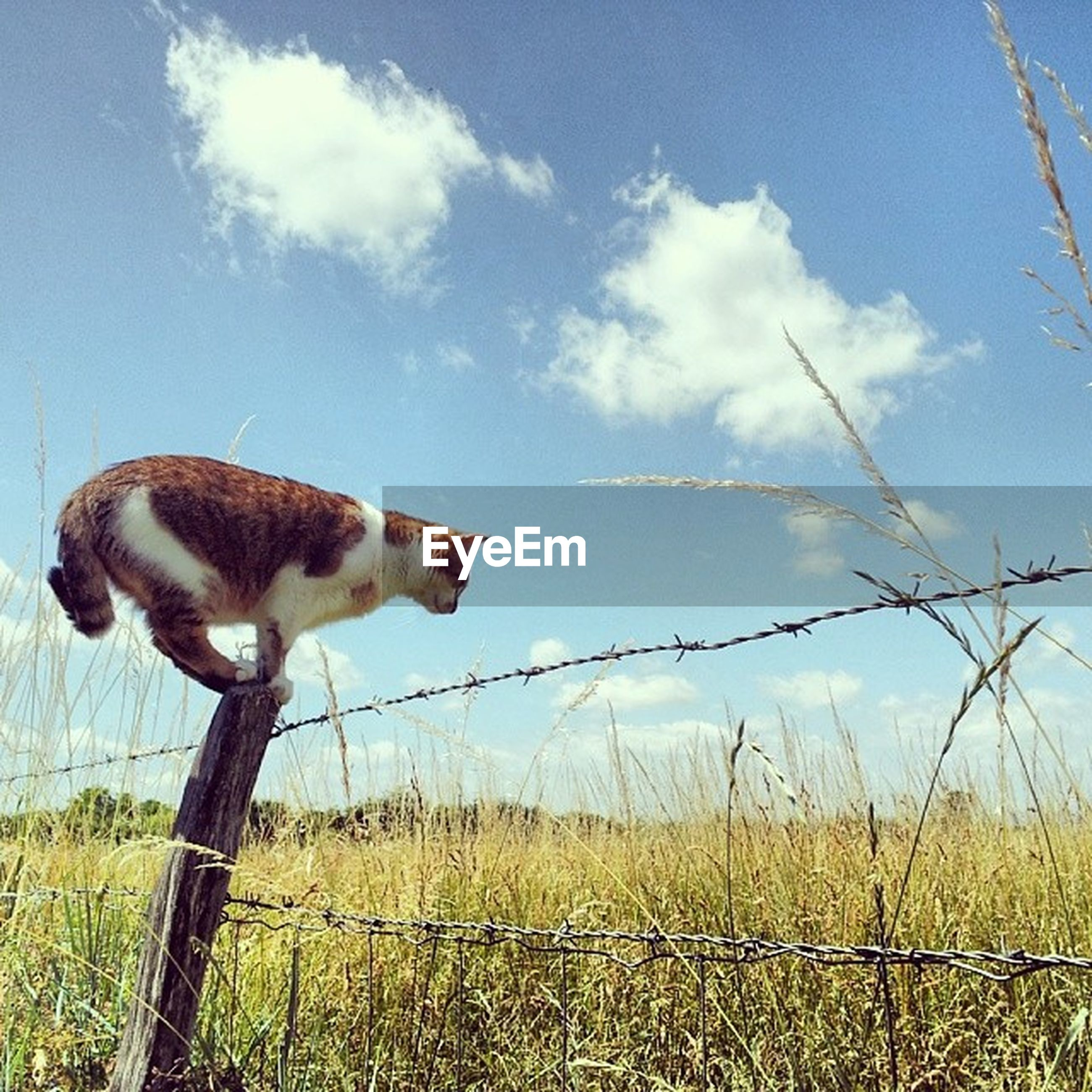 animal themes, mammal, sky, one animal, domestic animals, fence, field, grass, livestock, full length, standing, safety, cloud, grassy, nature, day, cloud - sky, outdoors, no people, two animals