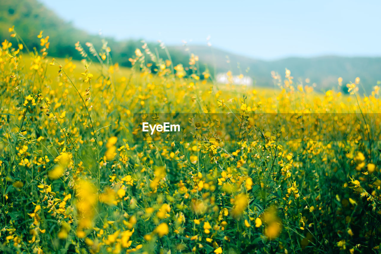 yellow, flower, oilseed rape, field, crop, agriculture, nature, beauty in nature, farm, growth, cultivated land, rural scene, mustard plant, selective focus, tranquility, plant, tranquil scene, fragility, springtime, day, no people, landscape, scenics, cultivated, outdoors, freshness, sky