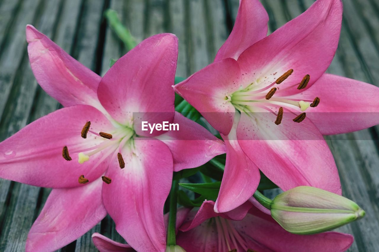 CLOSE-UP OF PINK DAY LILY FLOWERS