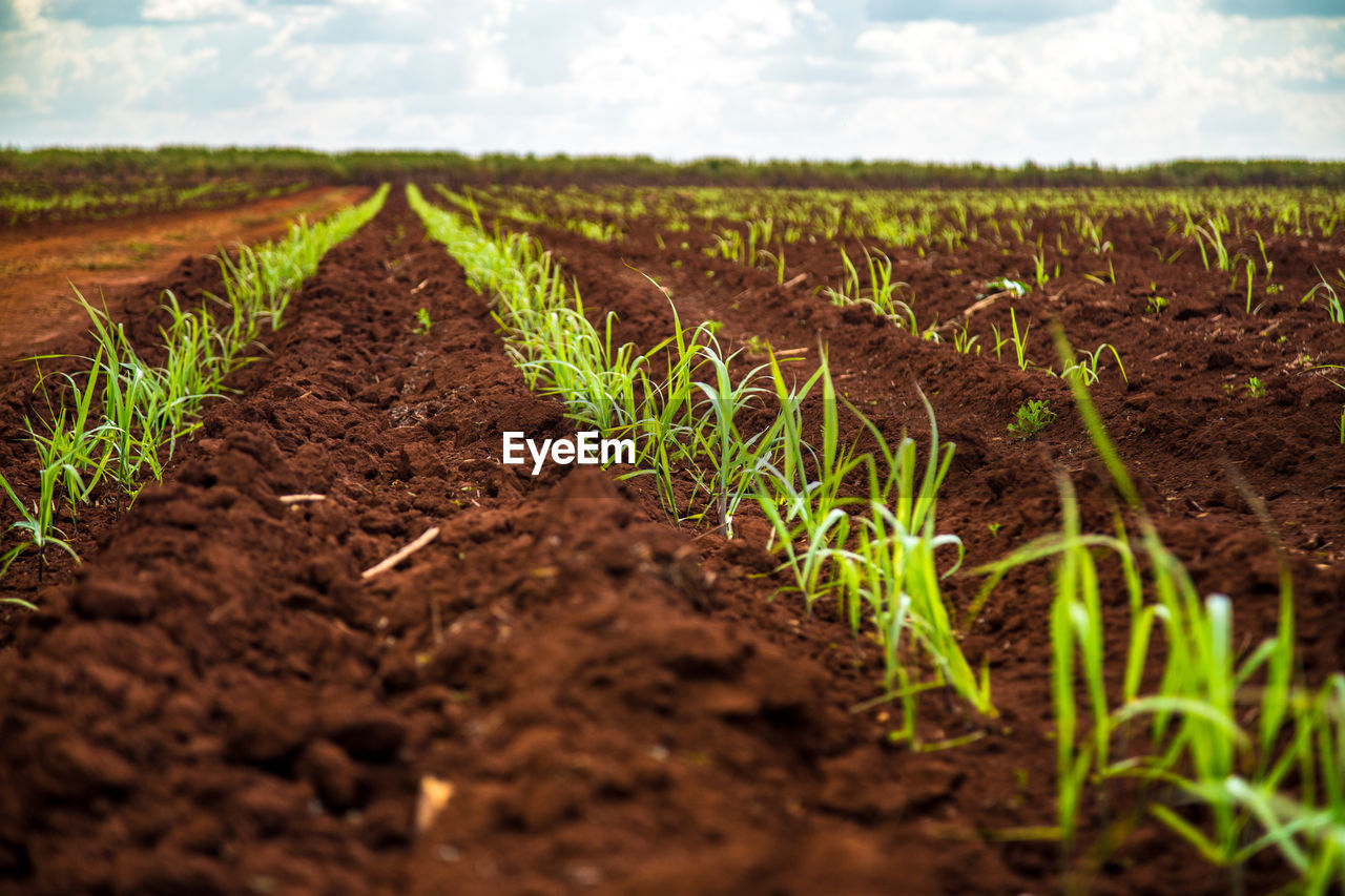 field, agriculture, land, dirt, landscape, nature, plant, growth, rural scene, farm, selective focus, crop, no people, day, green color, sky, tranquility, plant part, environment, leaf, mud, outdoors, surface level, plantation