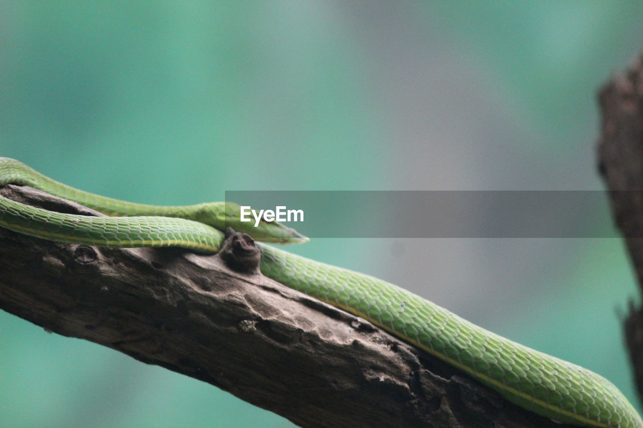 one animal, animals in the wild, reptile, animal themes, animal wildlife, nature, green color, focus on foreground, day, outdoors, no people, close-up, beauty in nature, tree