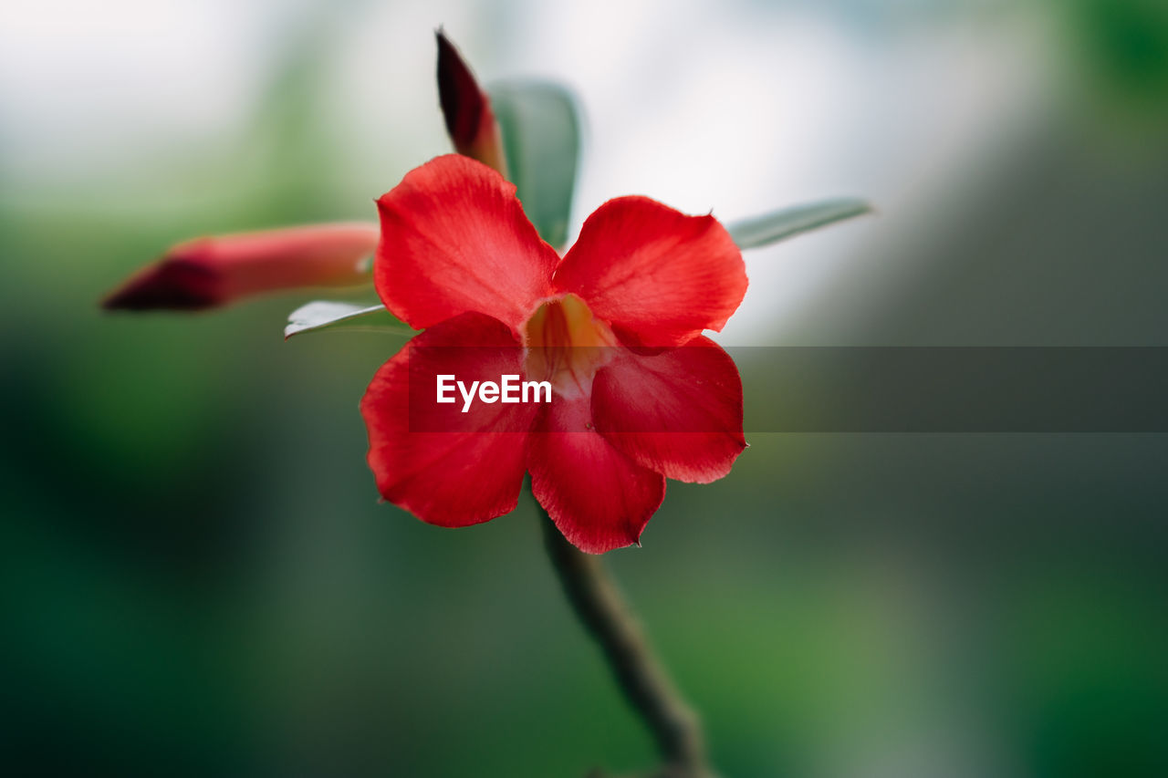 flowering plant, flower, freshness, beauty in nature, plant, petal, close-up, vulnerability, fragility, growth, red, focus on foreground, inflorescence, flower head, day, selective focus, nature, no people, plant stem, pollen, sepal