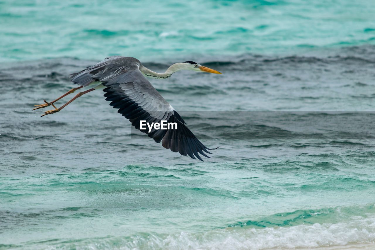 animals in the wild, animal, animal wildlife, animal themes, one animal, vertebrate, bird, flying, spread wings, sea, water, motion, mid-air, no people, waterfront, nature, day, heron, water bird, outdoors