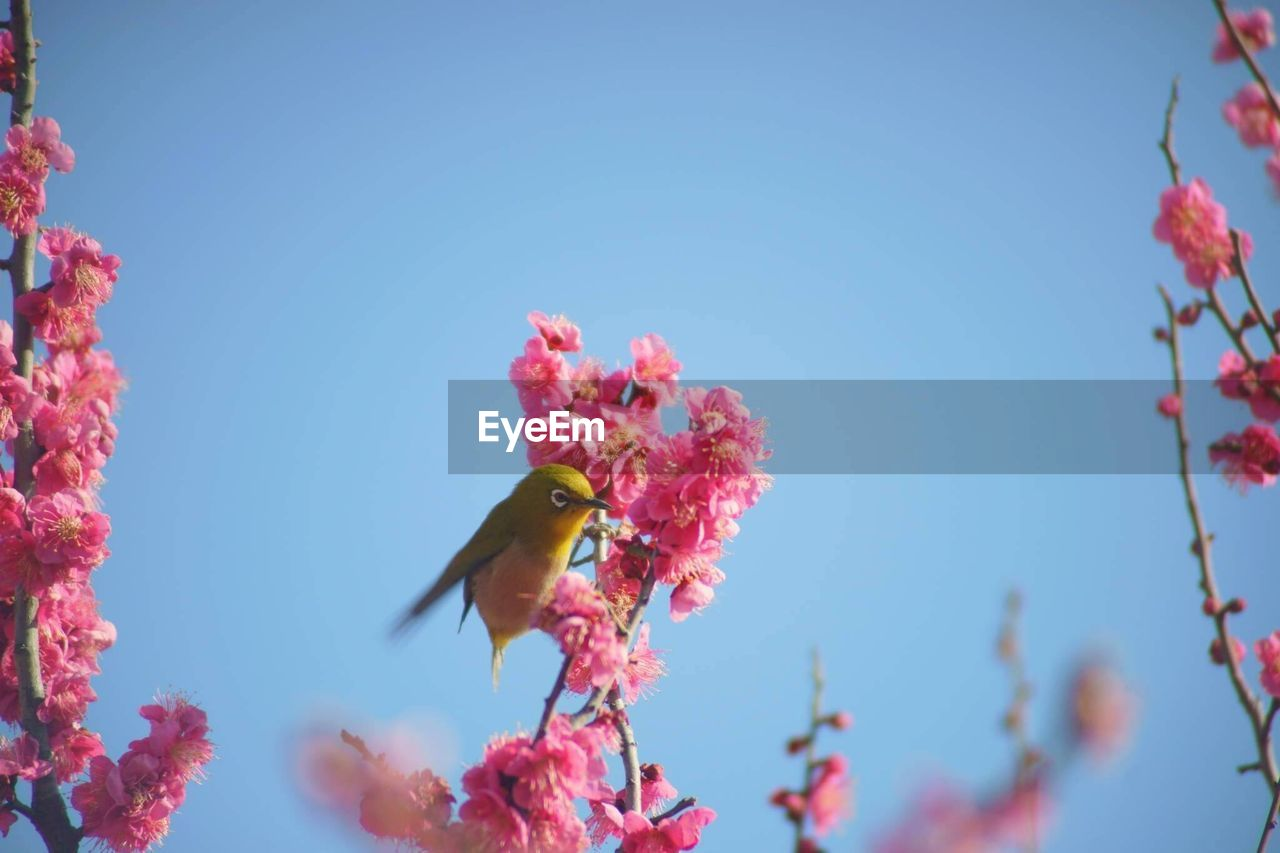 animal themes, animal, animals in the wild, animal wildlife, vertebrate, one animal, low angle view, bird, plant, nature, pink color, flower, clear sky, sky, day, flowering plant, tree, copy space, perching, beauty in nature, no people, outdoors, plum blossom, cherry blossom
