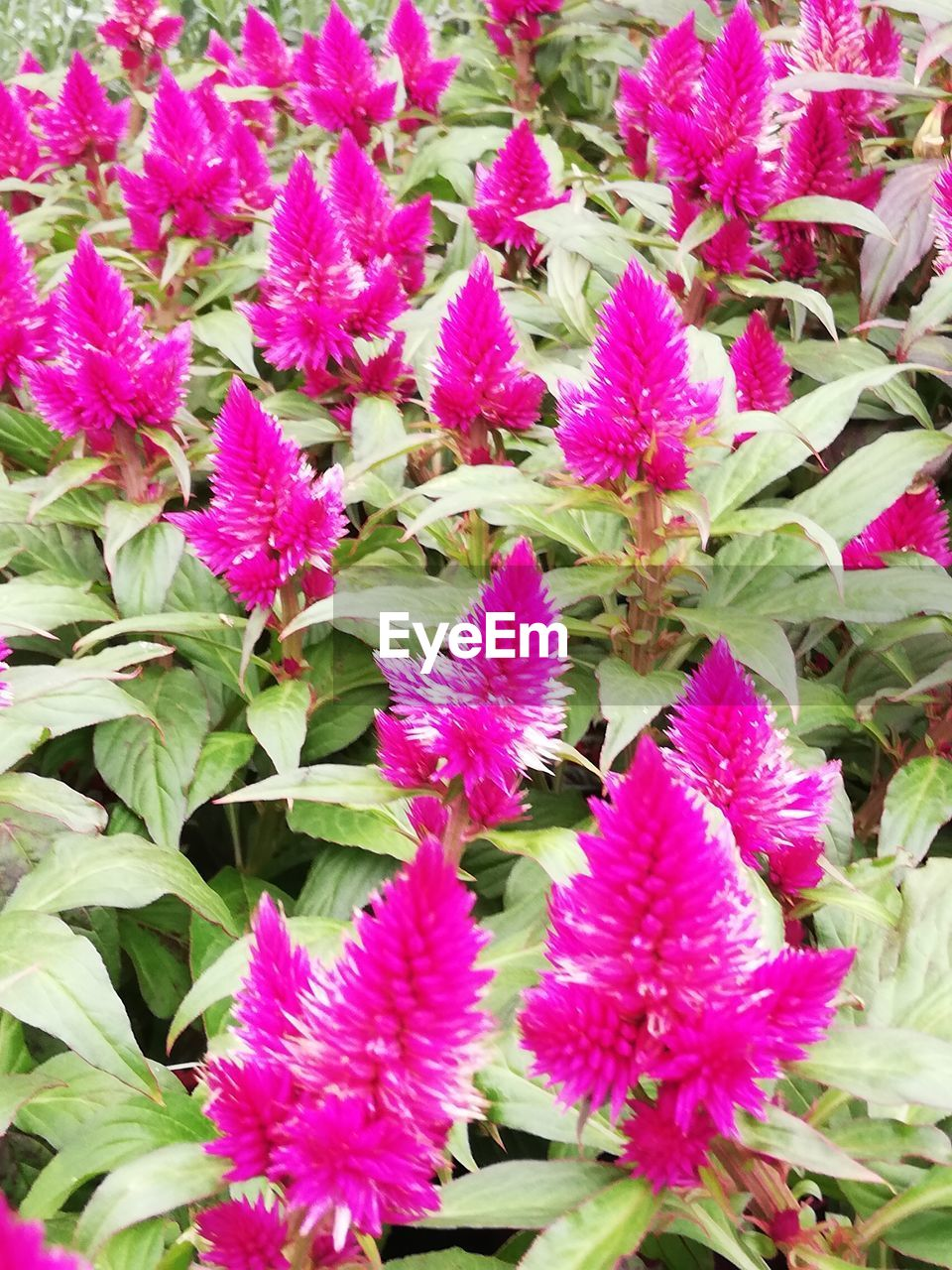 plant, flowering plant, flower, beauty in nature, growth, vulnerability, fragility, freshness, pink color, close-up, petal, flower head, leaf, nature, plant part, day, inflorescence, no people, high angle view, outdoors, purple, flowerbed