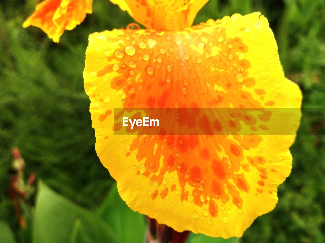 petal, flower, beauty in nature, flower head, freshness, drop, fragility, nature, close-up, growth, focus on foreground, plant, water, outdoors, day, wet, yellow, blooming, no people
