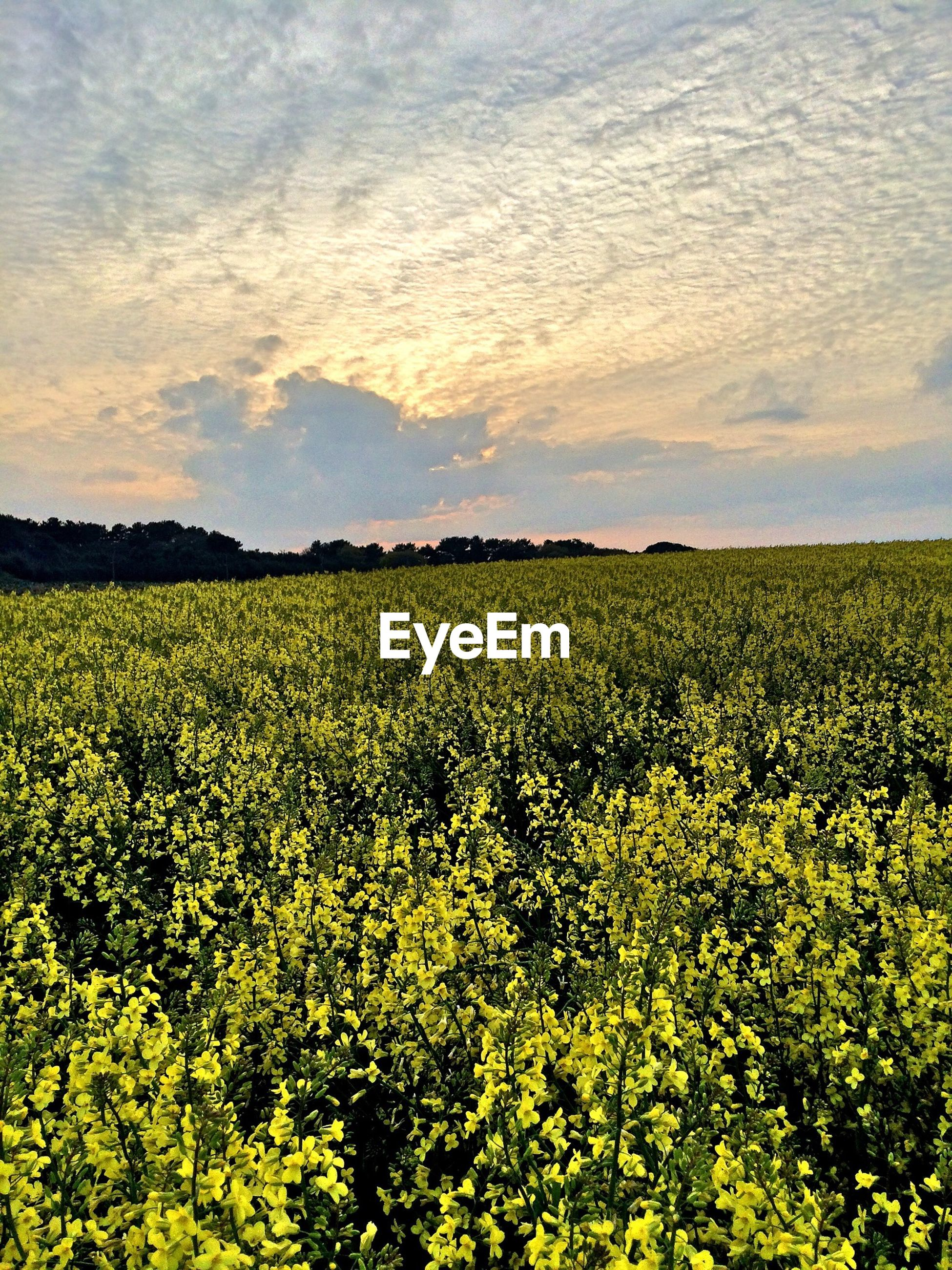 agriculture, field, rural scene, beauty in nature, yellow, landscape, growth, tranquil scene, flower, farm, tranquility, nature, scenics, sky, crop, freshness, cultivated land, oilseed rape, cloud - sky, plant