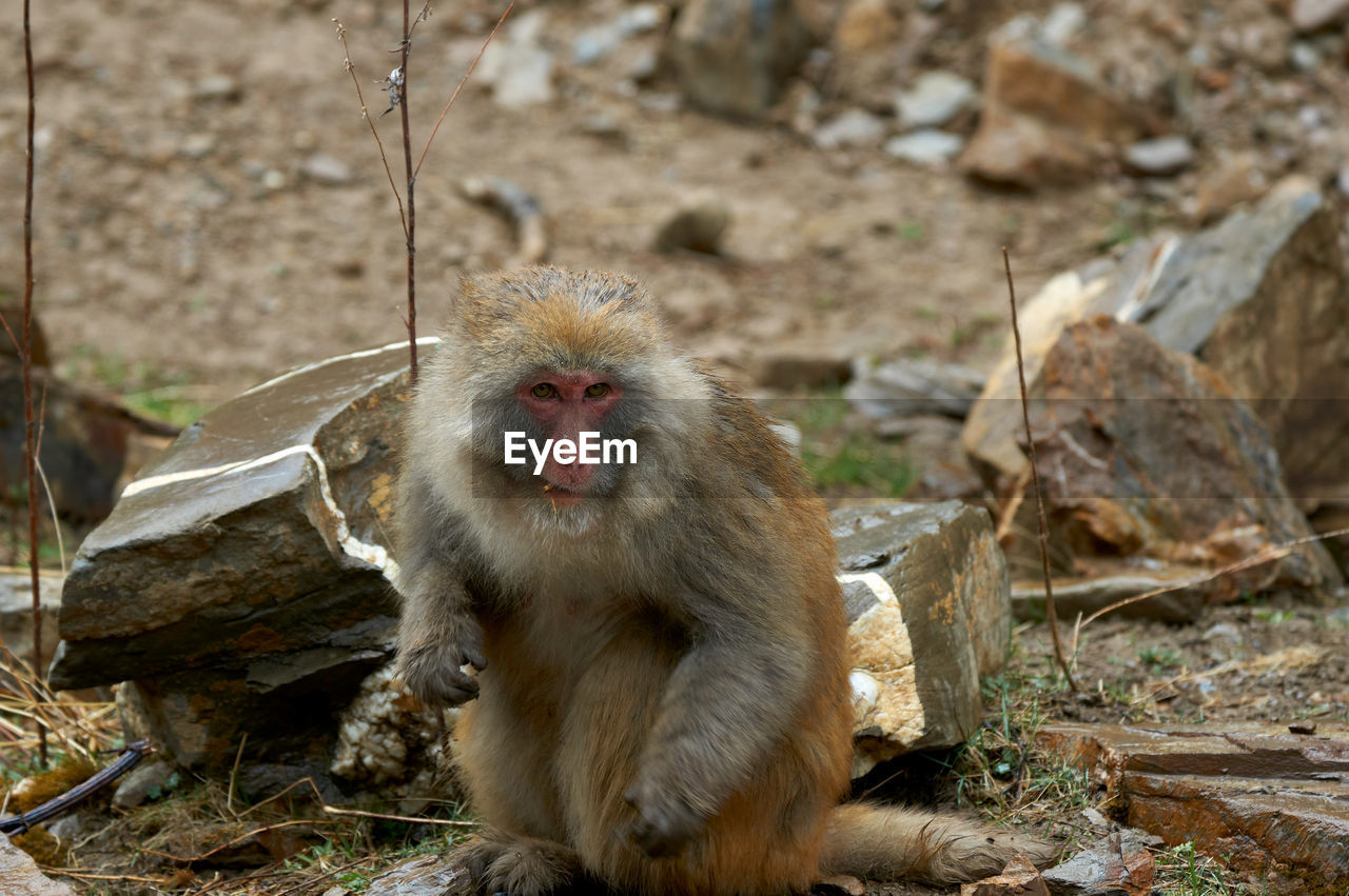 primate, mammal, animals in the wild, animal wildlife, one animal, japanese macaque, vertebrate, day, sitting, solid, no people, rock, rock - object, nature, focus on foreground, outdoors