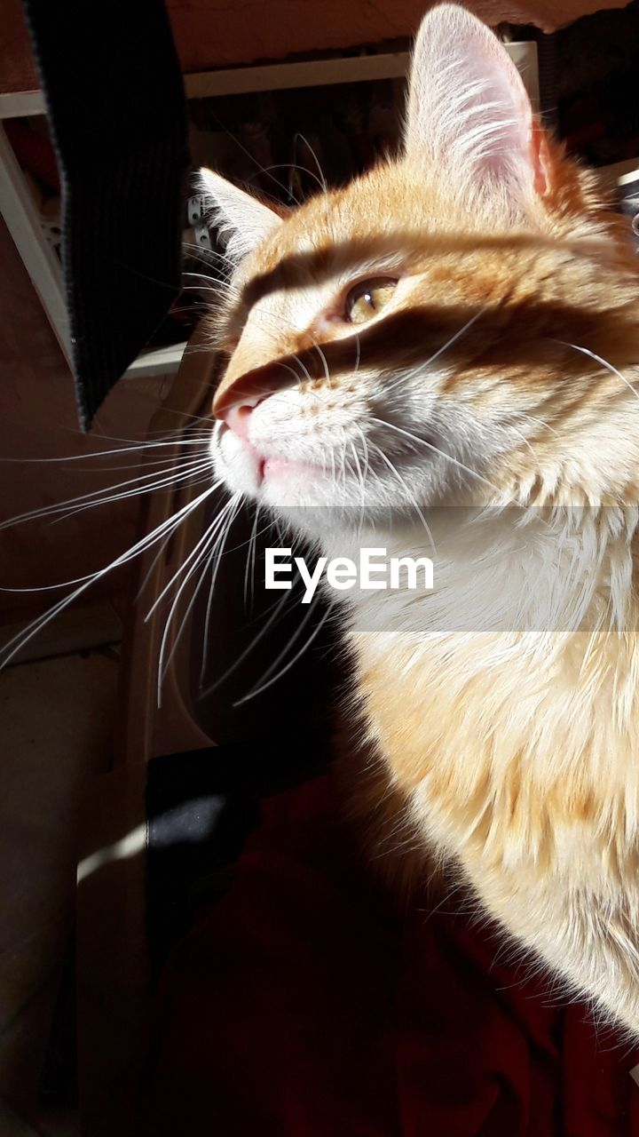 domestic cat, pets, domestic animals, one animal, feline, animal themes, mammal, cat, whisker, no people, indoors, close-up, day