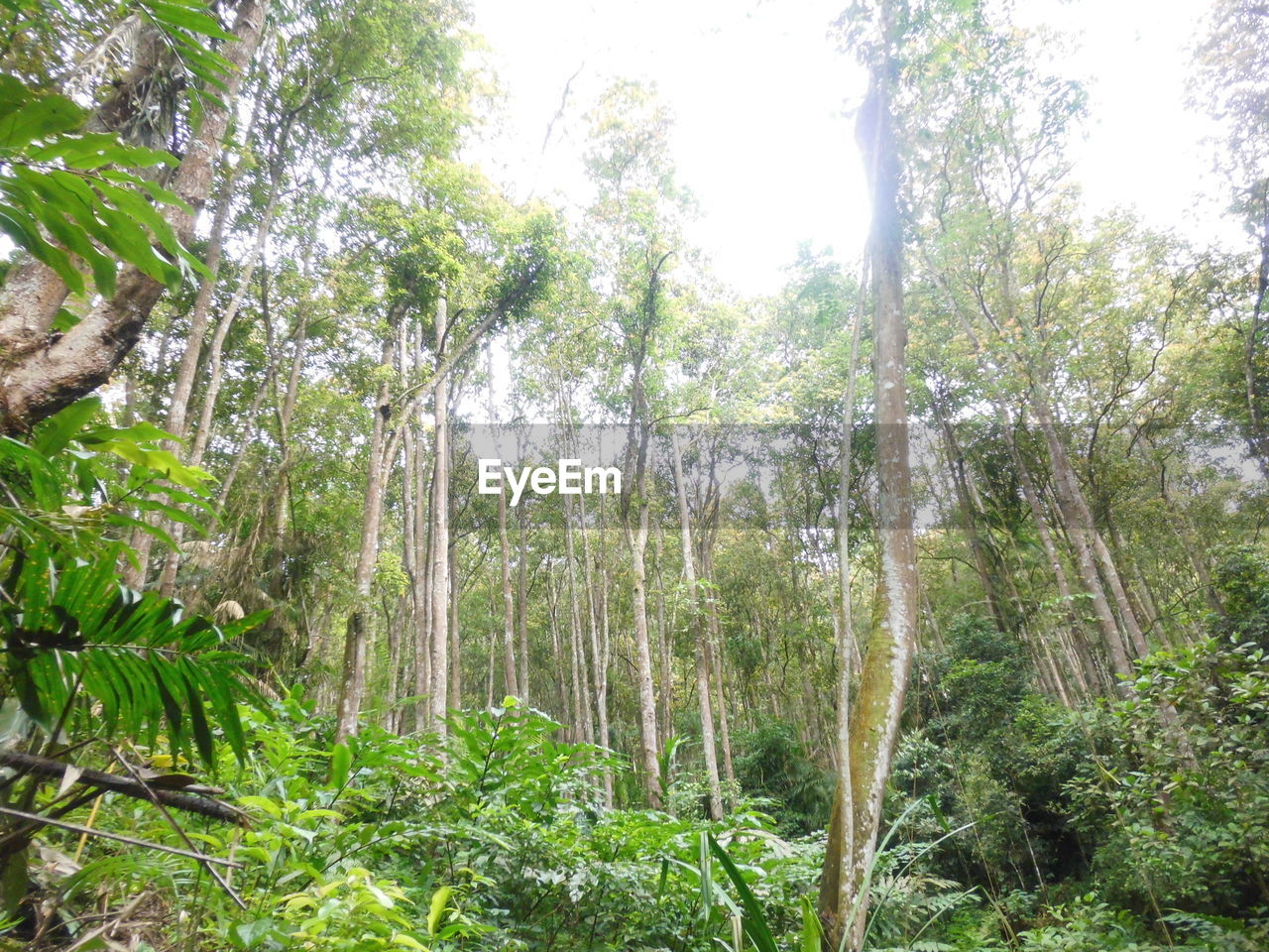 plant, tree, forest, growth, land, tranquility, beauty in nature, nature, day, scenics - nature, tranquil scene, no people, green color, woodland, non-urban scene, environment, tree trunk, outdoors, trunk, lush foliage, rainforest, bamboo - plant