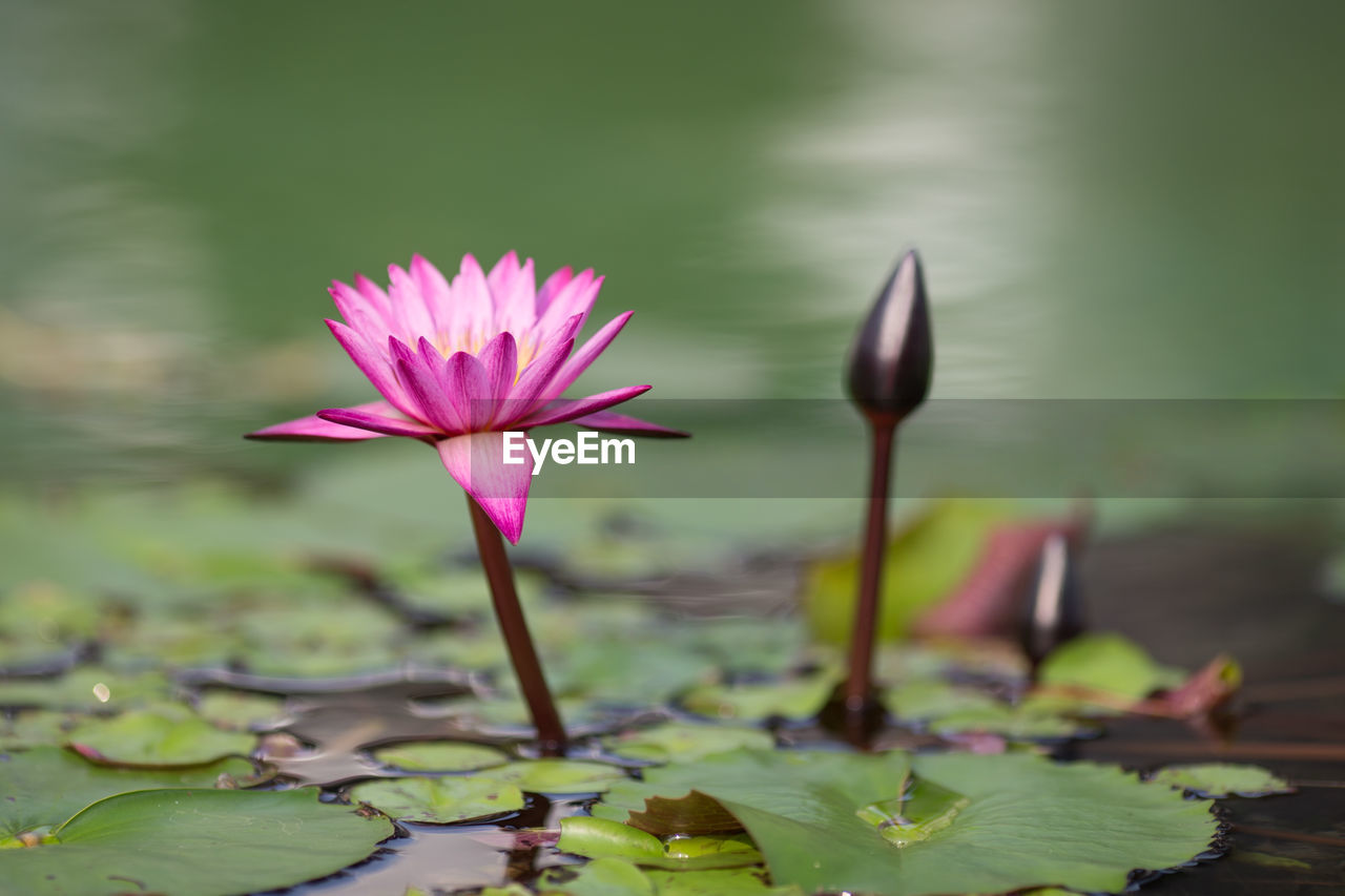 flower, vulnerability, flowering plant, beauty in nature, fragility, water lily, plant, freshness, growth, petal, leaf, water, lake, close-up, inflorescence, plant part, flower head, lotus water lily, nature, pink color, no people, floating on water, purple
