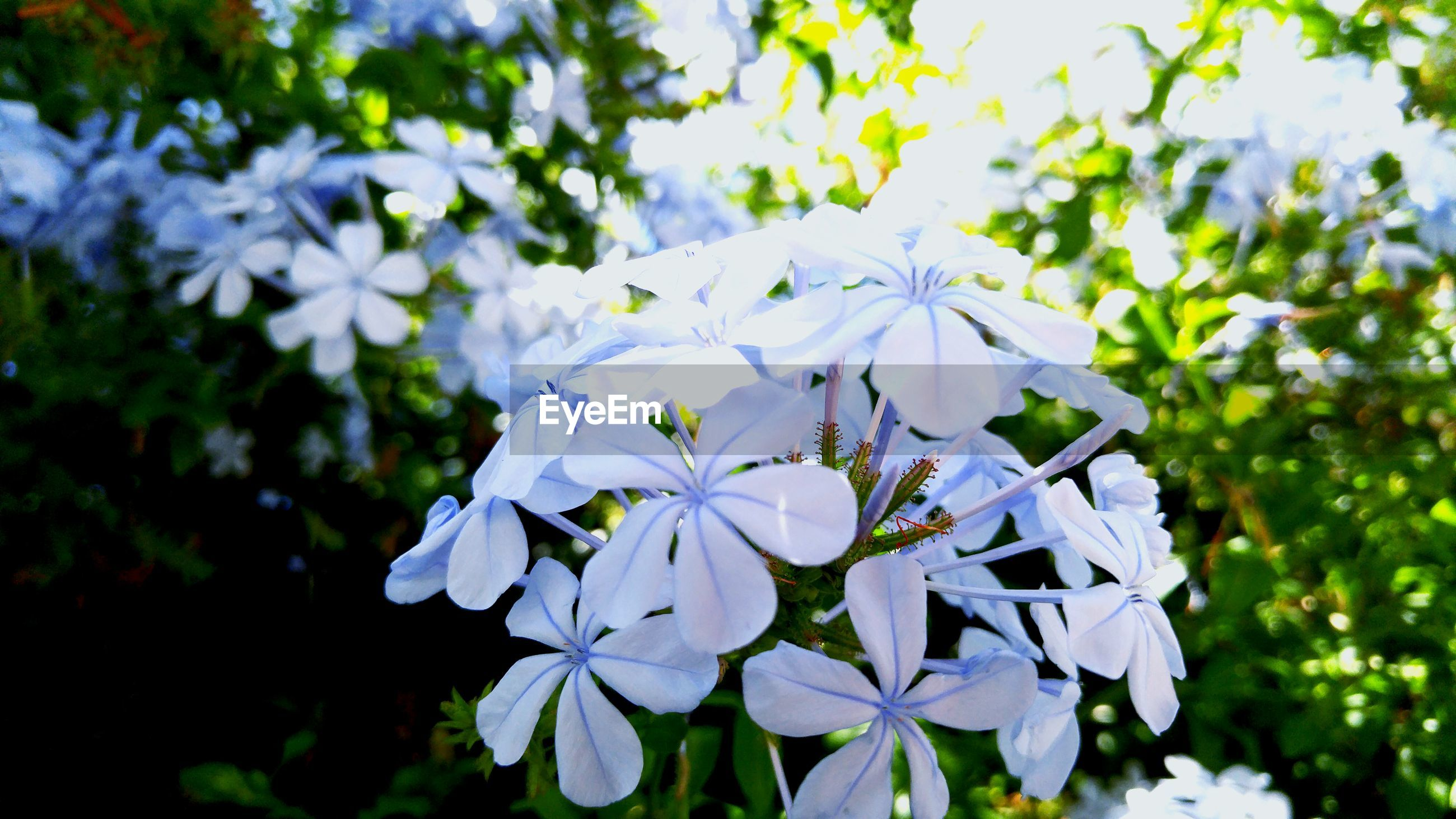 Close-up of phlox flowers blooming outdoors