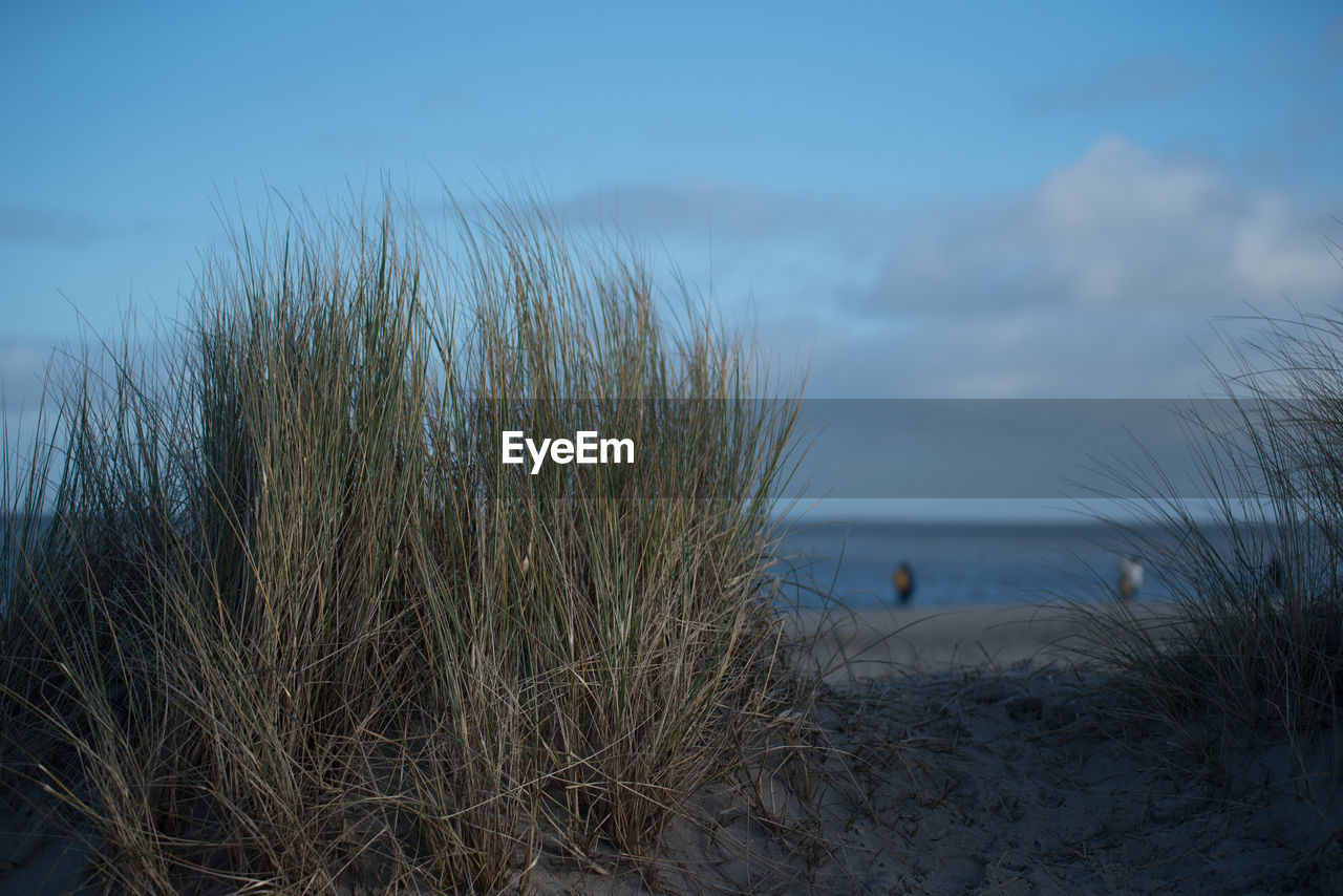 nature, sea, tranquil scene, water, sky, tranquility, marram grass, beach, beauty in nature, outdoors, scenics, no people, sand, plant, horizon over water, day, grass, close-up, sand dune