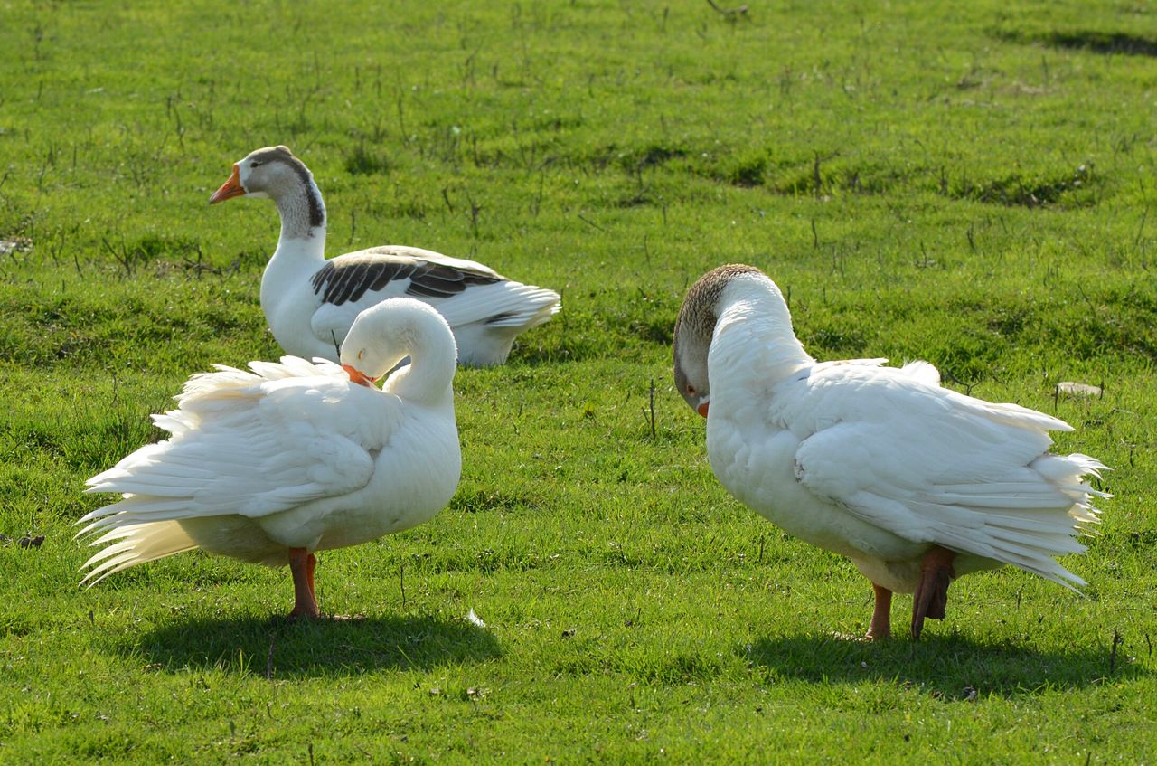 bird, group of animals, animal, animal themes, animals in the wild, grass, vertebrate, animal wildlife, land, plant, field, nature, green color, white color, no people, day, two animals, outdoors, swan, sunlight, animal family