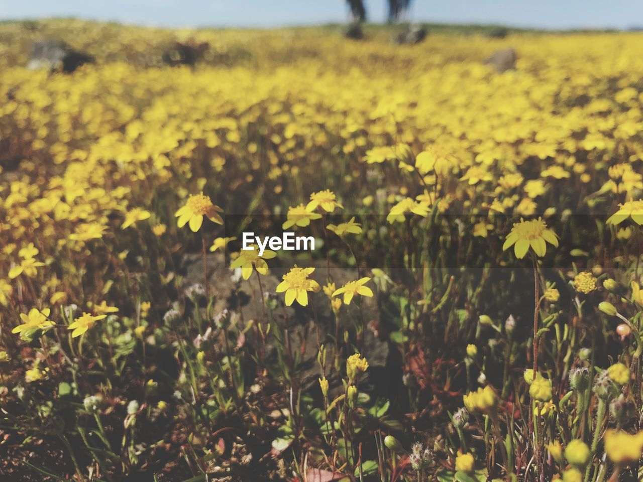 yellow, plant, flowering plant, flower, land, field, growth, beauty in nature, nature, day, landscape, tranquility, focus on foreground, freshness, fragility, no people, tranquil scene, outdoors, vulnerability, scenics - nature, flower head, flowerbed