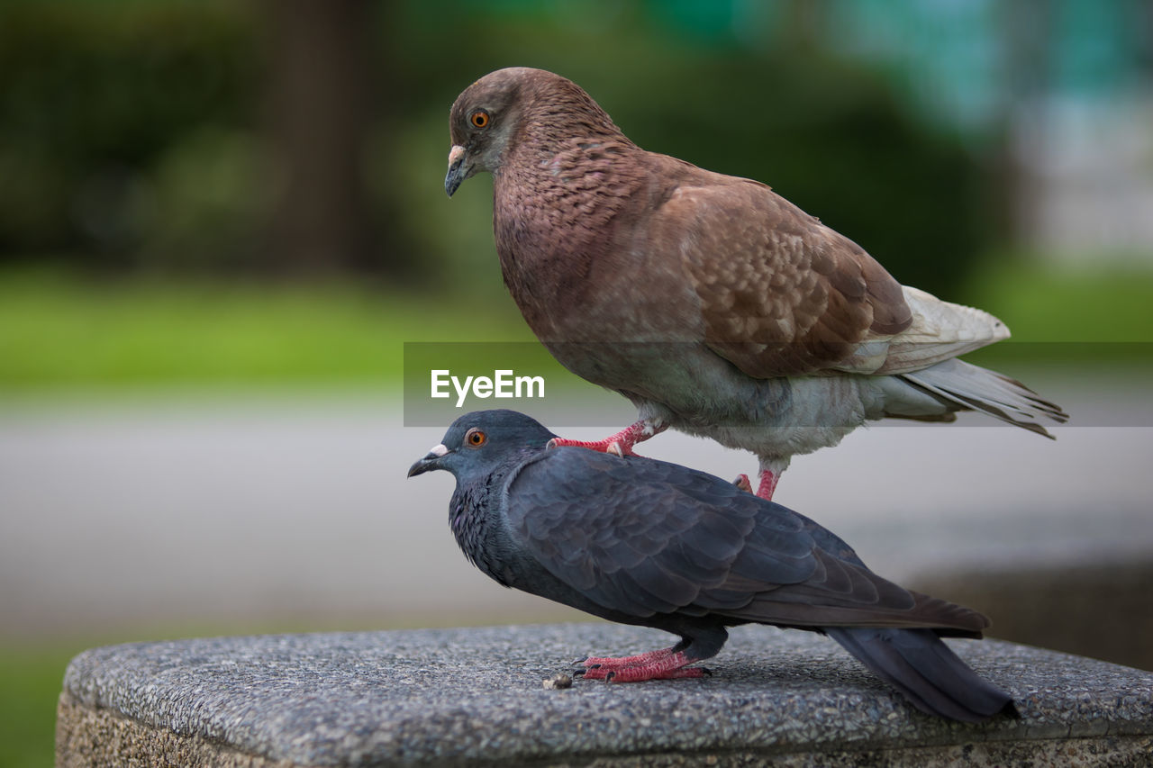 bird, vertebrate, animal themes, animal, animal wildlife, group of animals, animals in the wild, focus on foreground, two animals, day, perching, no people, pigeon, nature, close-up, outdoors, retaining wall, dove - bird, beak