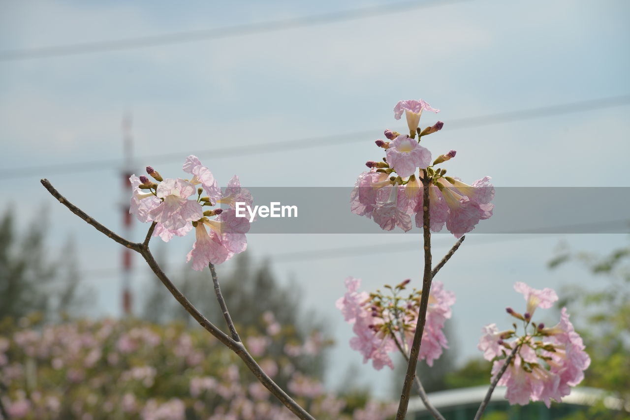flower, beauty in nature, fragility, pink color, growth, nature, freshness, springtime, no people, blossom, focus on foreground, petal, day, close-up, outdoors, tree, flower head, plant, blooming, branch, sky