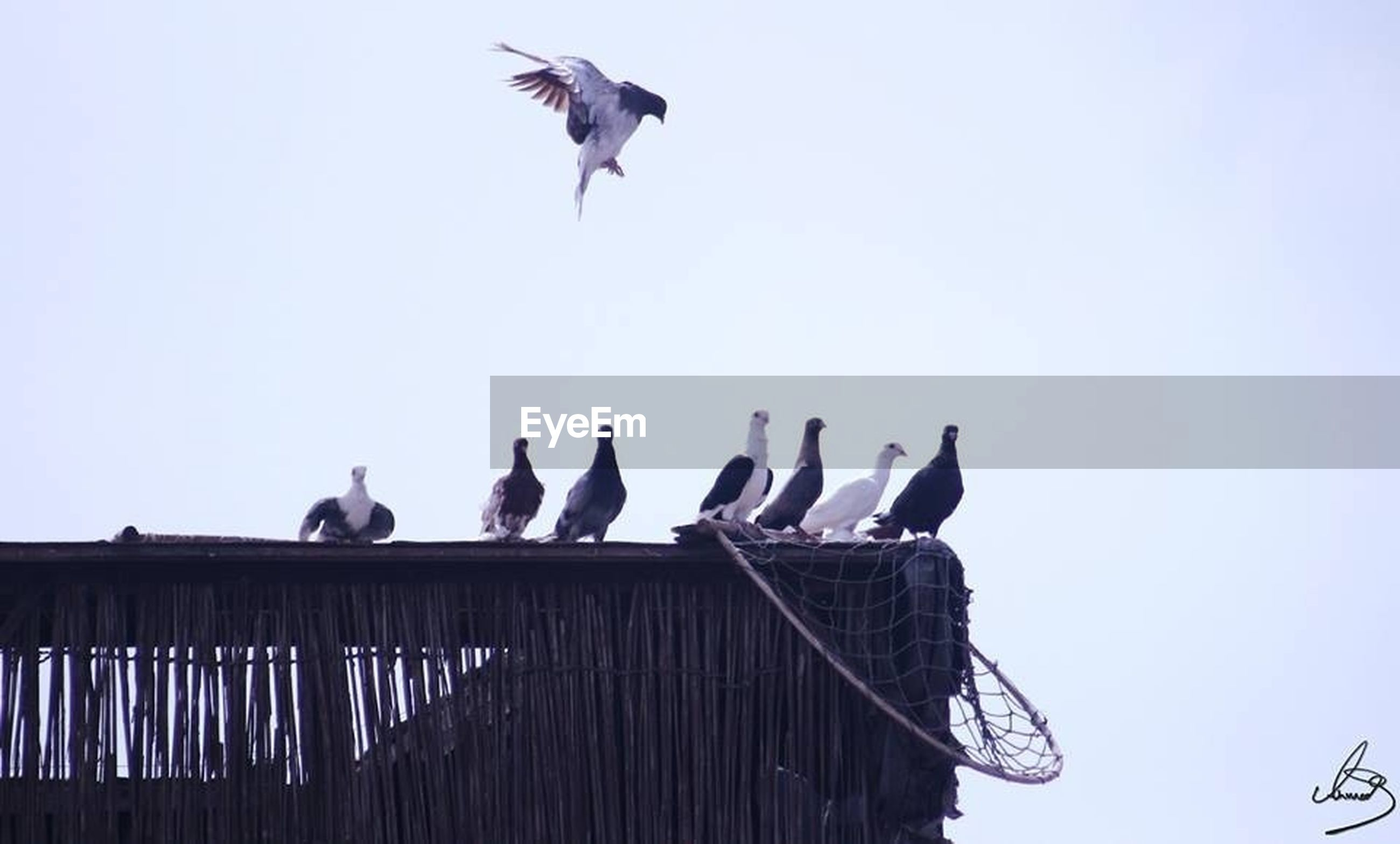 animal themes, bird, animals in the wild, wildlife, flying, spread wings, low angle view, perching, clear sky, seagull, one animal, two animals, copy space, medium group of animals, three animals, sky, mid-air, zoology, pigeon