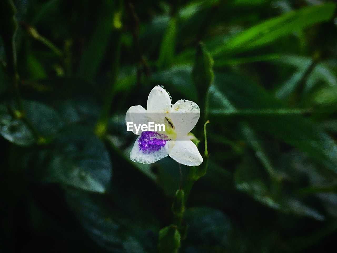 flower, petal, fragility, growth, nature, beauty in nature, freshness, plant, leaf, flower head, close-up, day, blooming, no people, outdoors, water, periwinkle