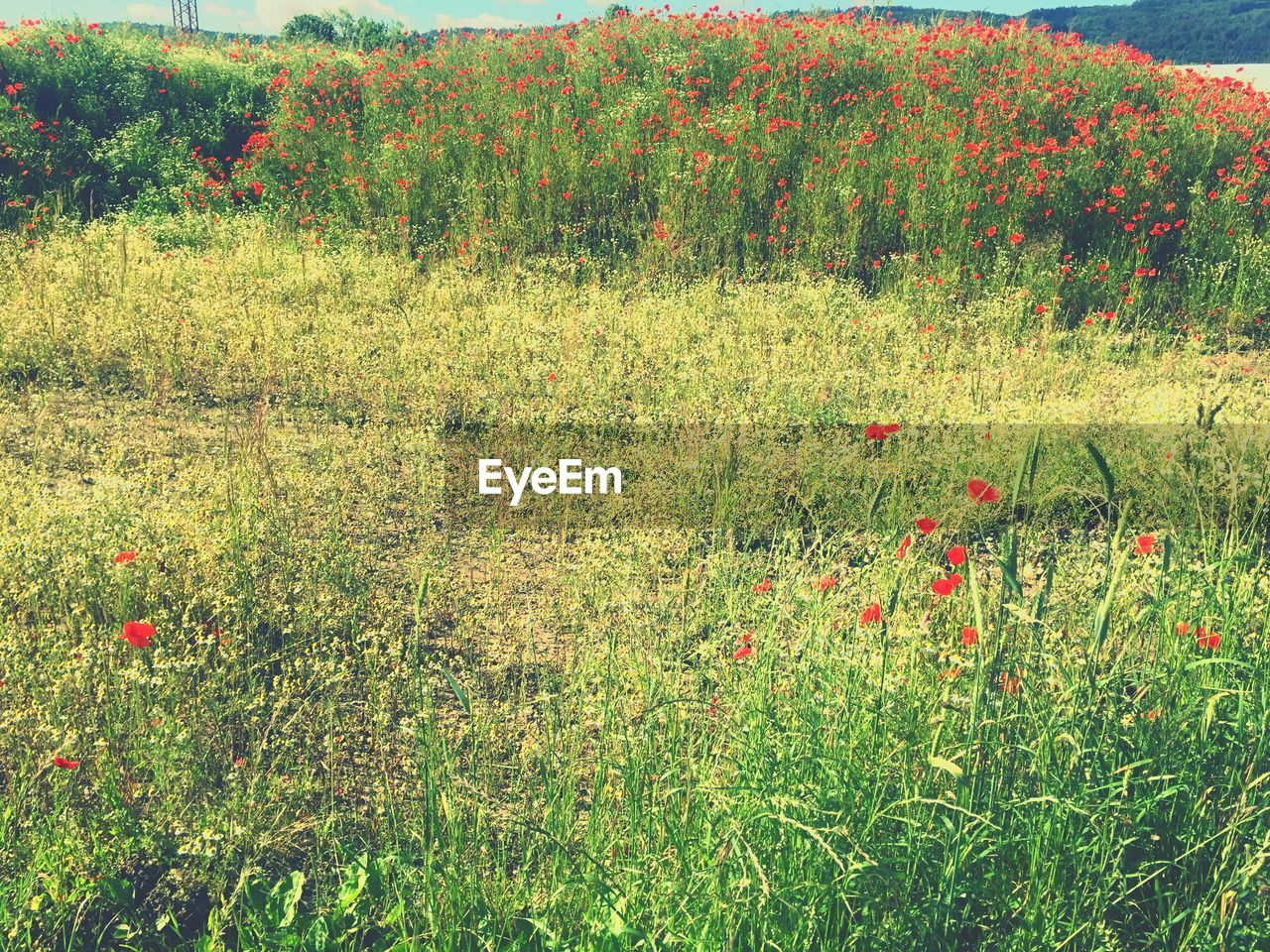 growth, grass, nature, field, flower, tranquility, poppy, plant, outdoors, no people, day, beauty in nature, red, scenics, landscape, tree